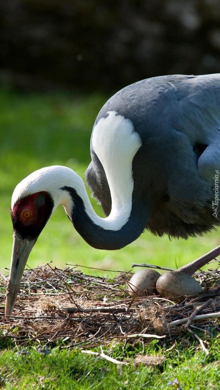 Żuraw w gnieździe pilnuje jaj