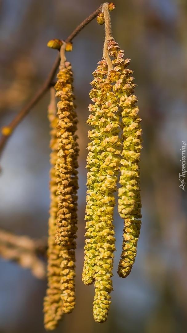Zwisające kwiatostany olszy