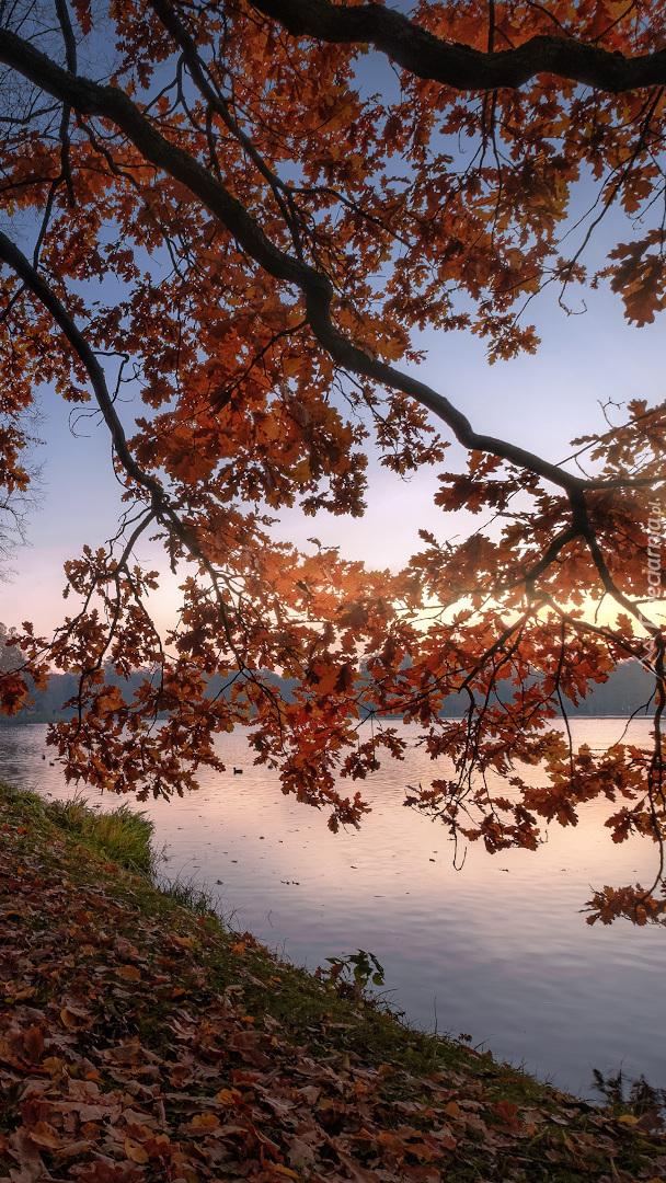 Zwisające nad rzeką gałęzie dębu