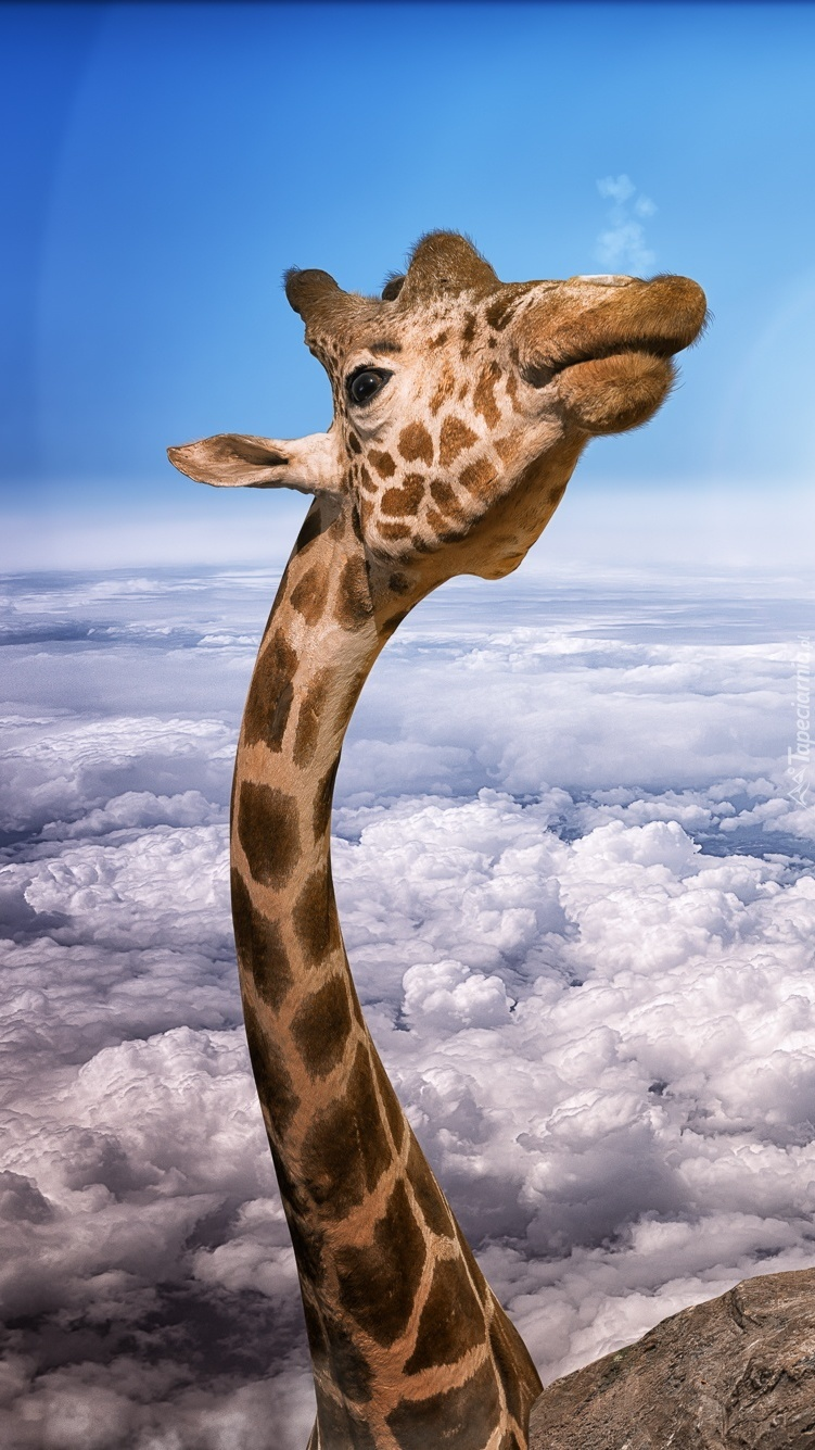 Żyrafa nad chmurami