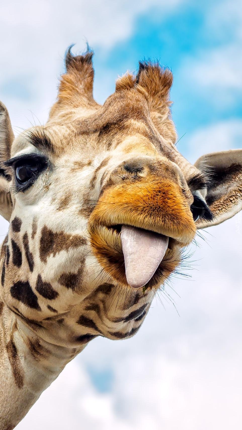 Żyrafa pokazuje język
