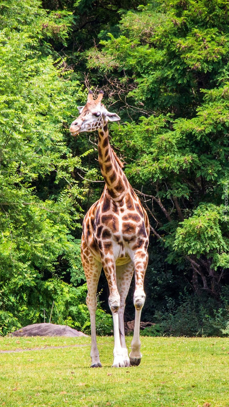 Żyrafa przy drzewach