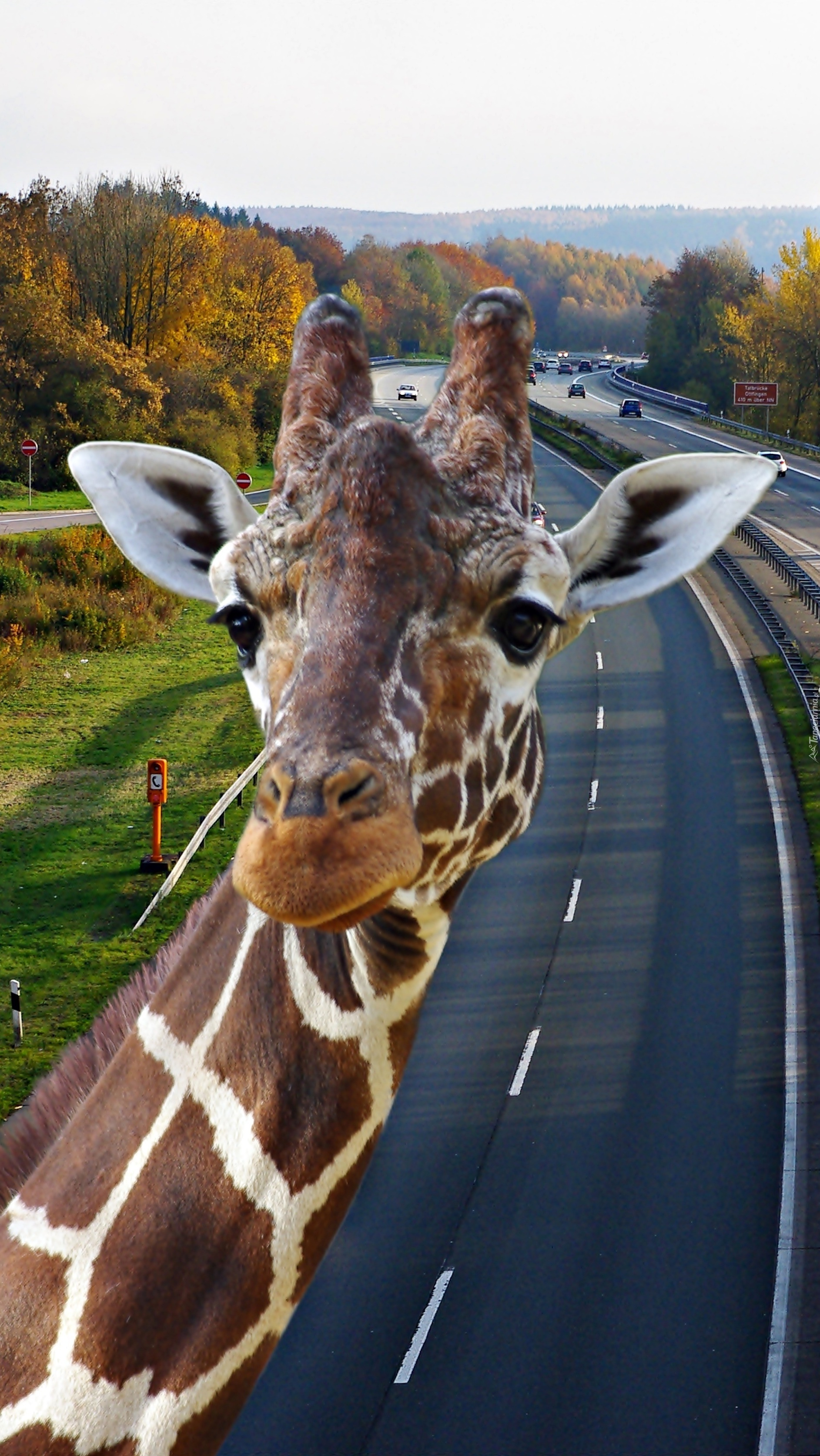 Żyrafi radar