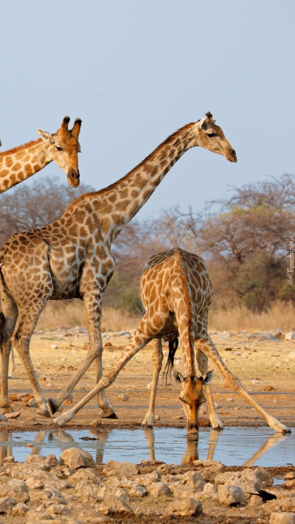 Żyrafy przy wodopoju