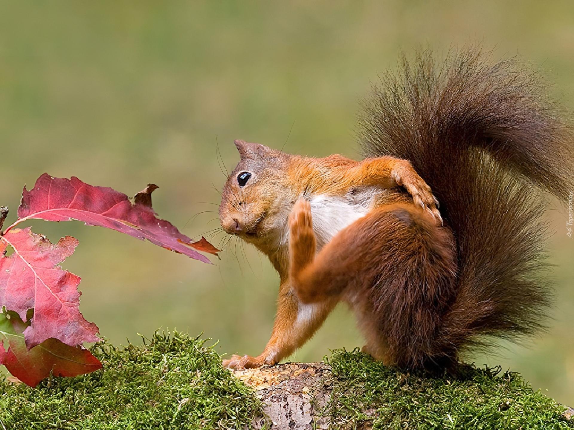Wiewiórka, Kita, Liść