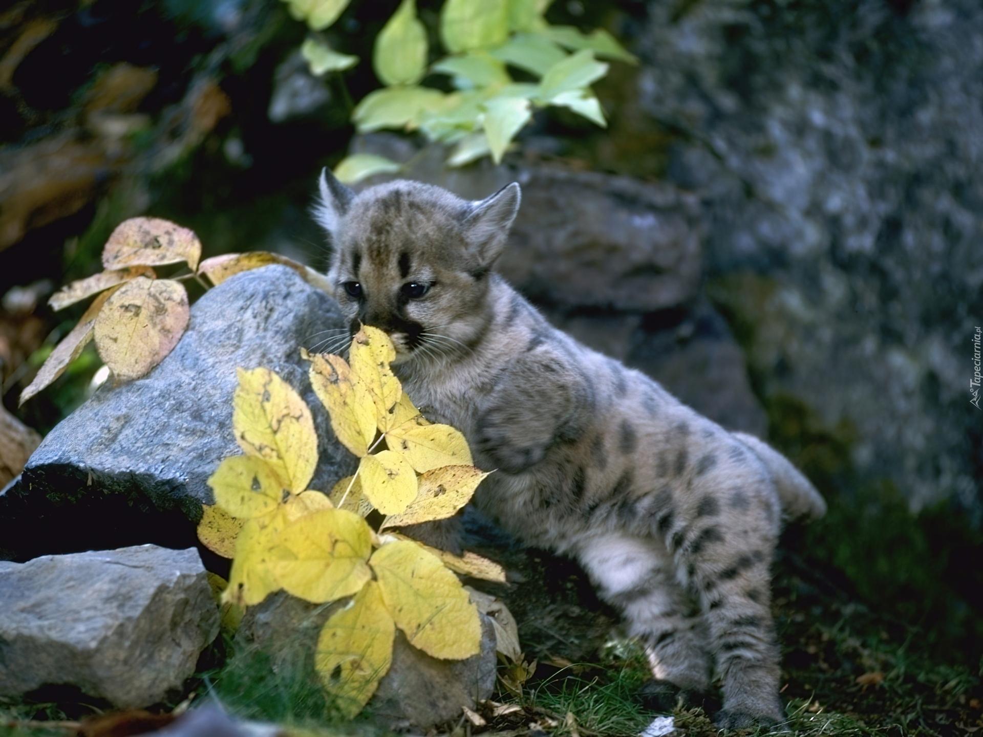Mała Puma Skały Liście