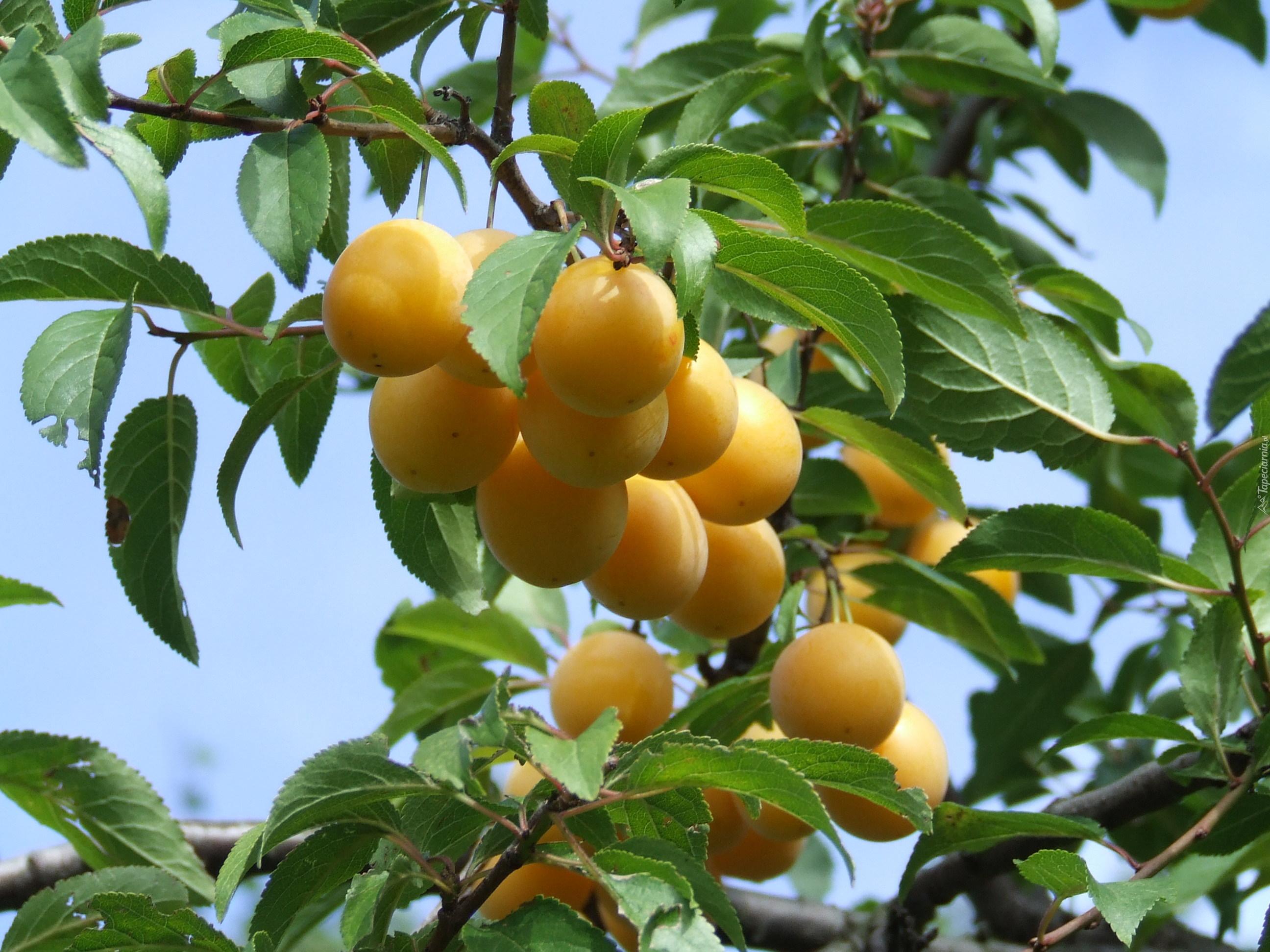 Owoce liwka mirabelka drzewo for Albero di kiwi
