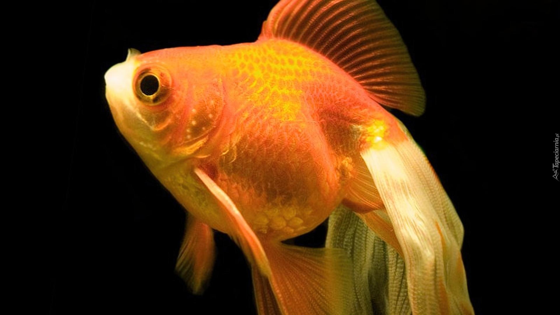 Картинка золотых рыбок