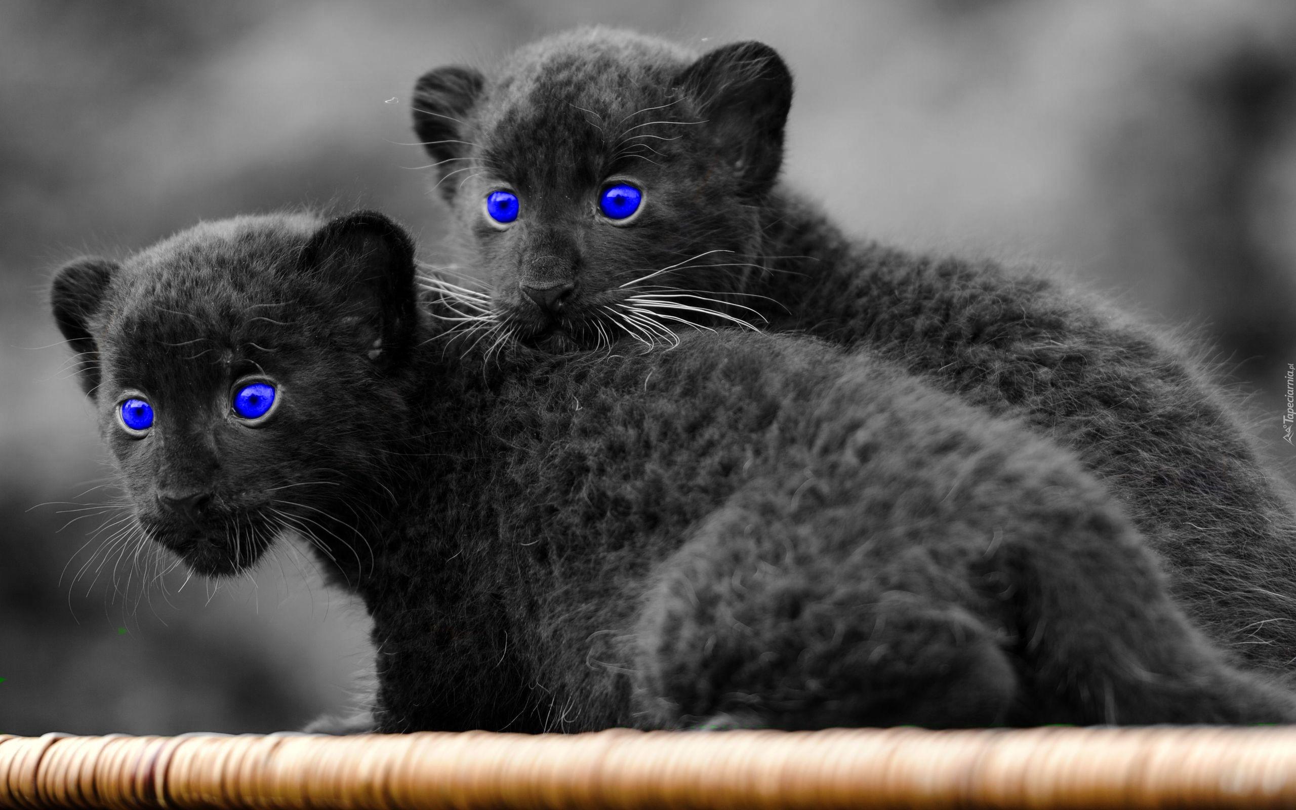 Czarne zdjęcia kotów