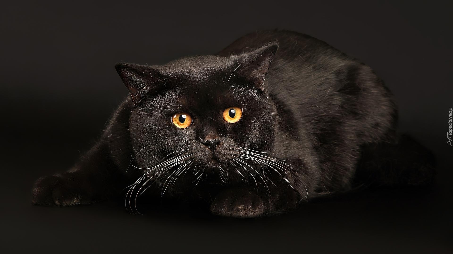 duży kot y