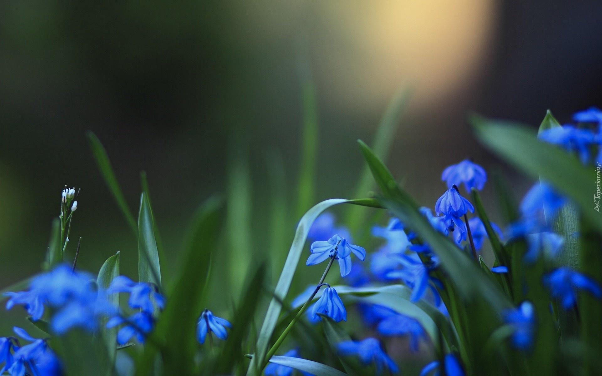Niebieskie Kwiaty Cebulicy
