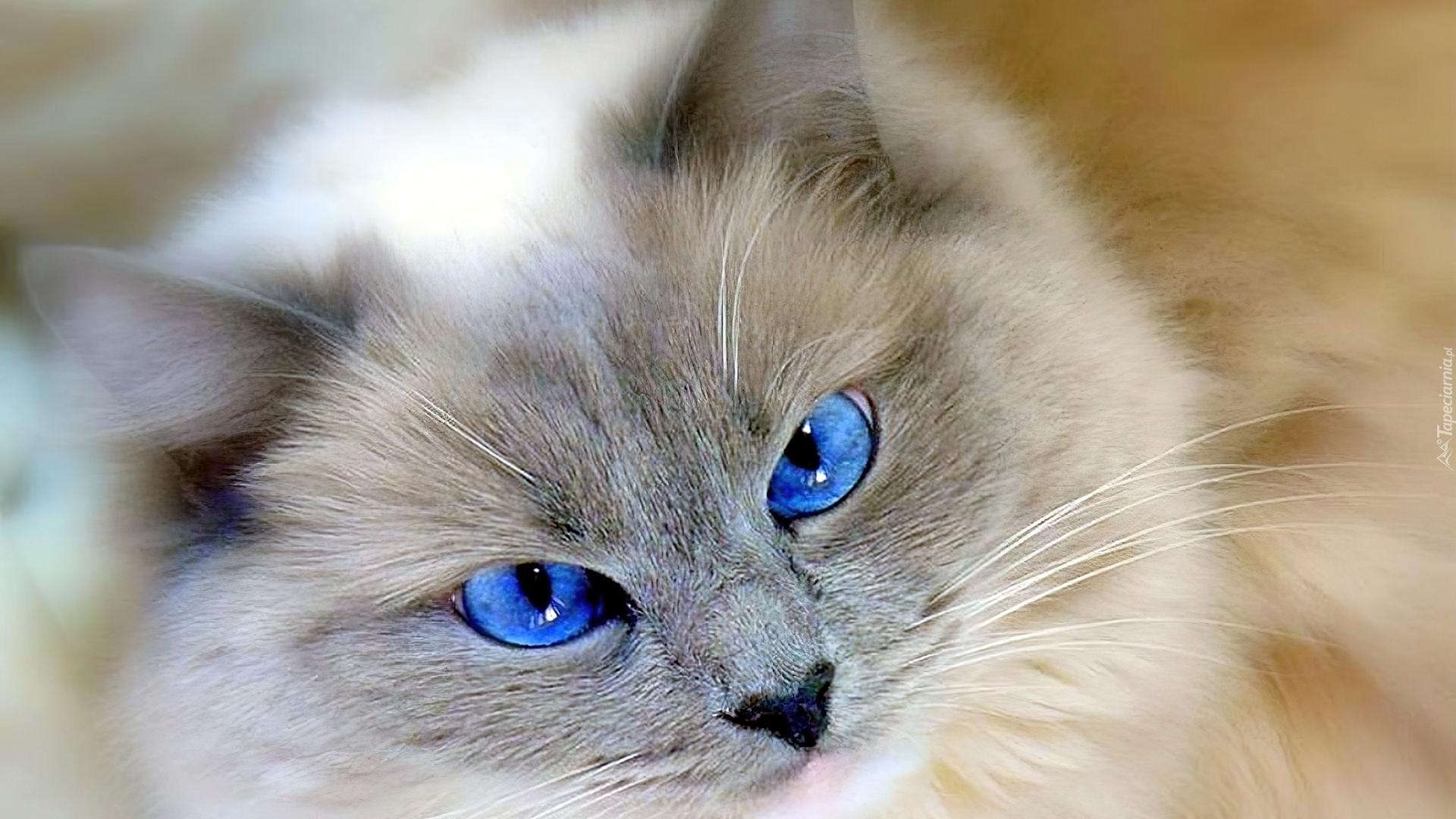 Kot Niebieskie