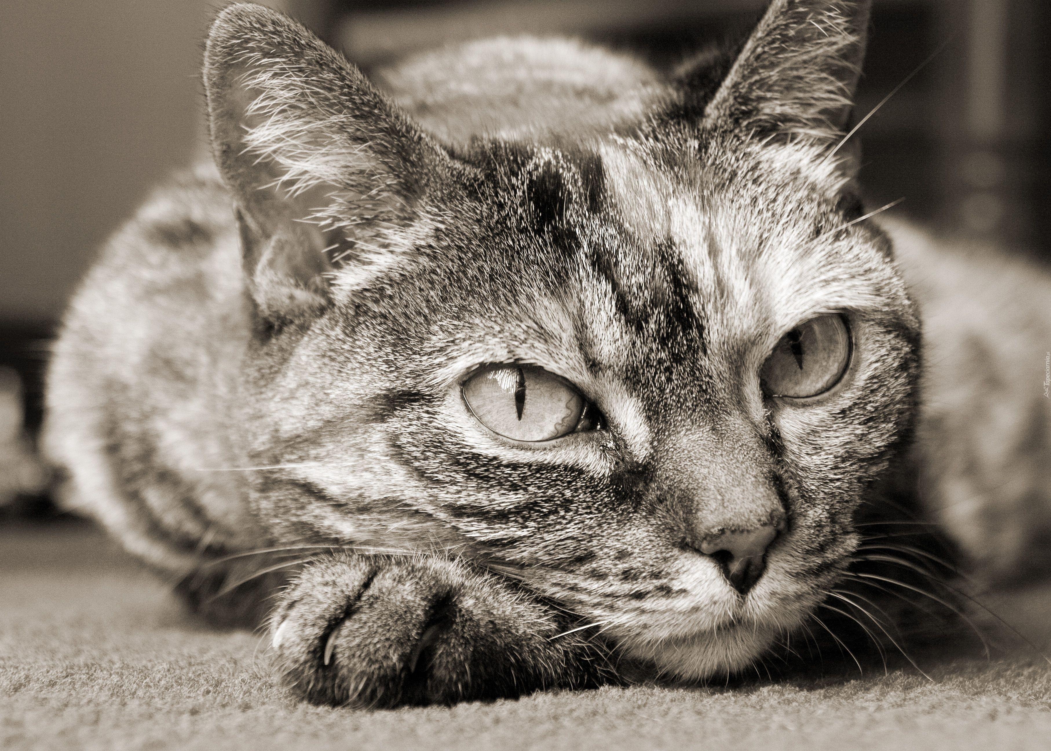 Piękny Szary Kot