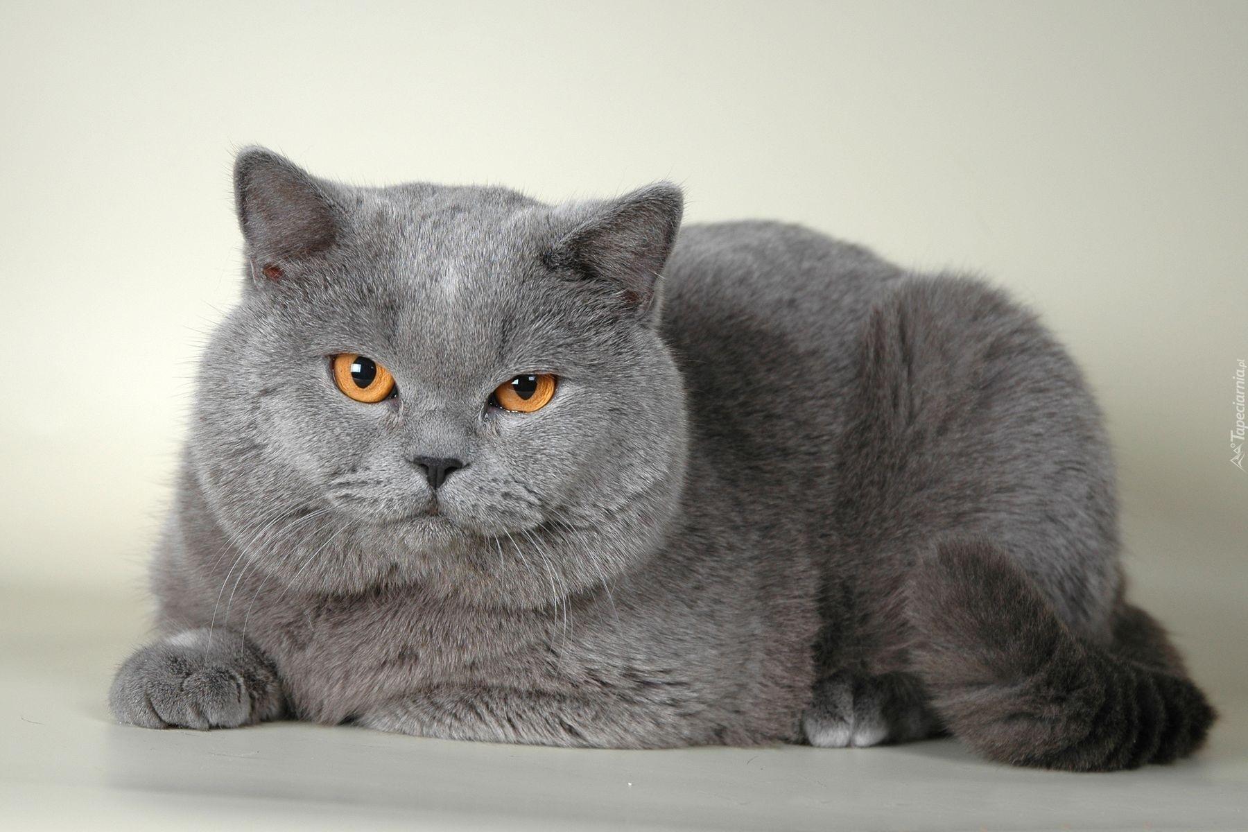 Szary Kot Brytyjski Krótkowłosy