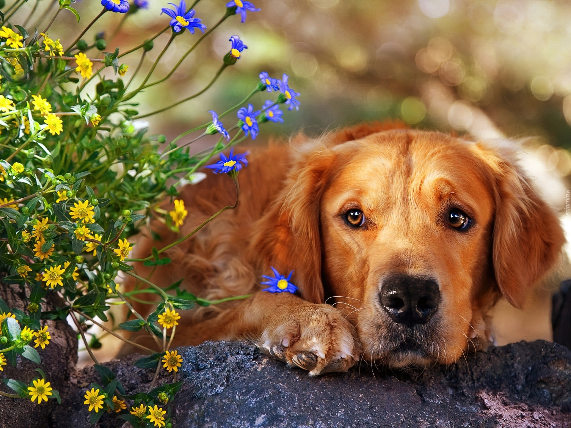 Pies kwiatki for Foto desktop animali