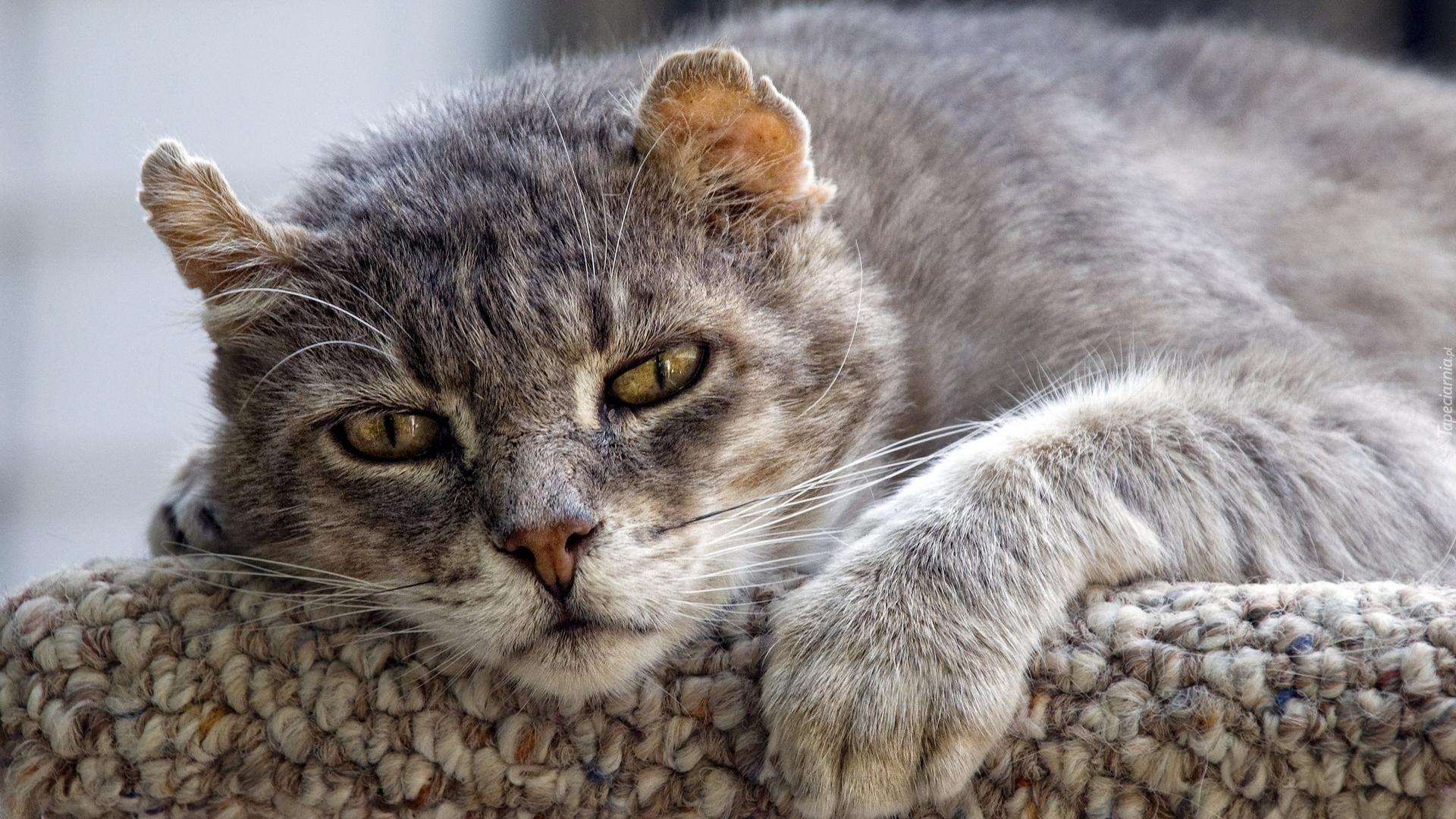 Szary Kot Dachowiec