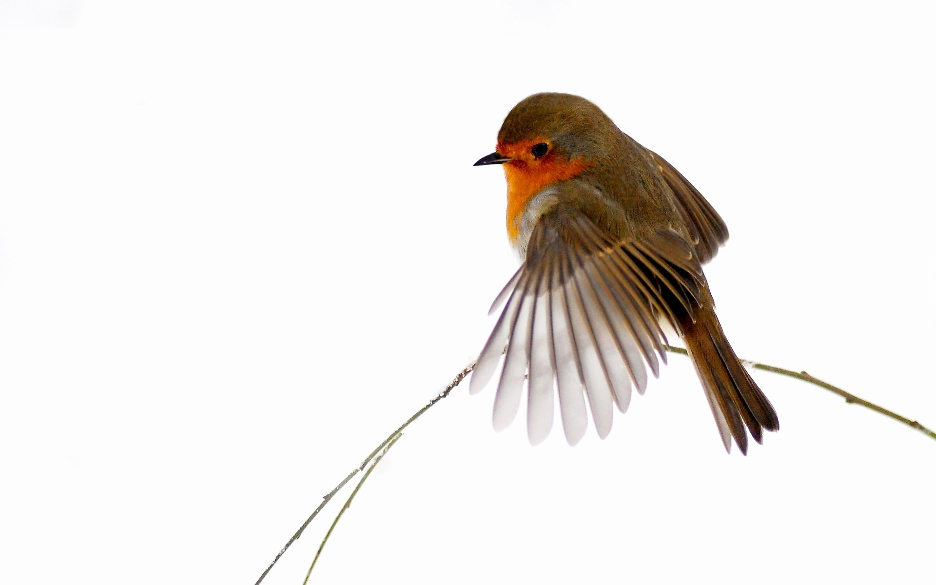 Ptak Gil Skrzydełko
