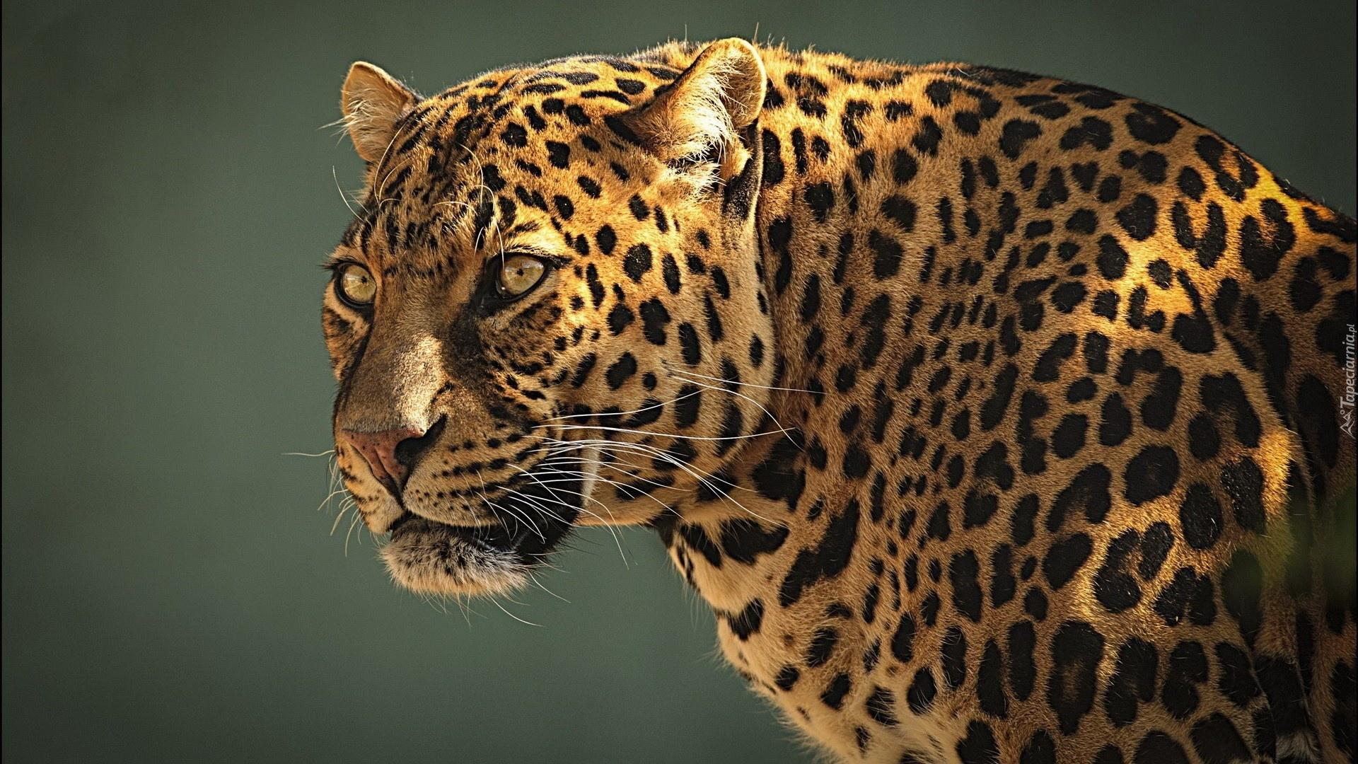Lampart Dziki Kot