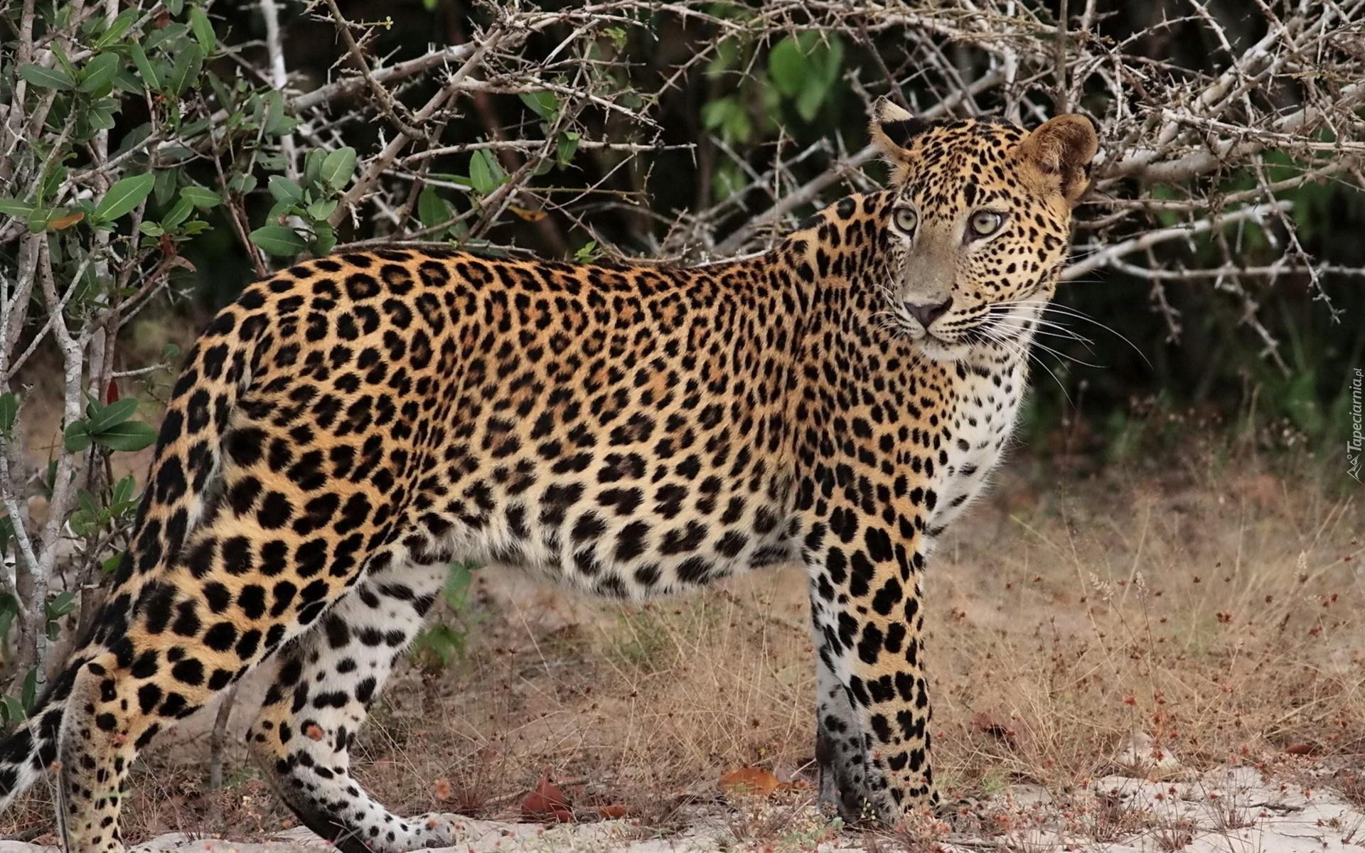 Lampart Dziki Kot Cętki