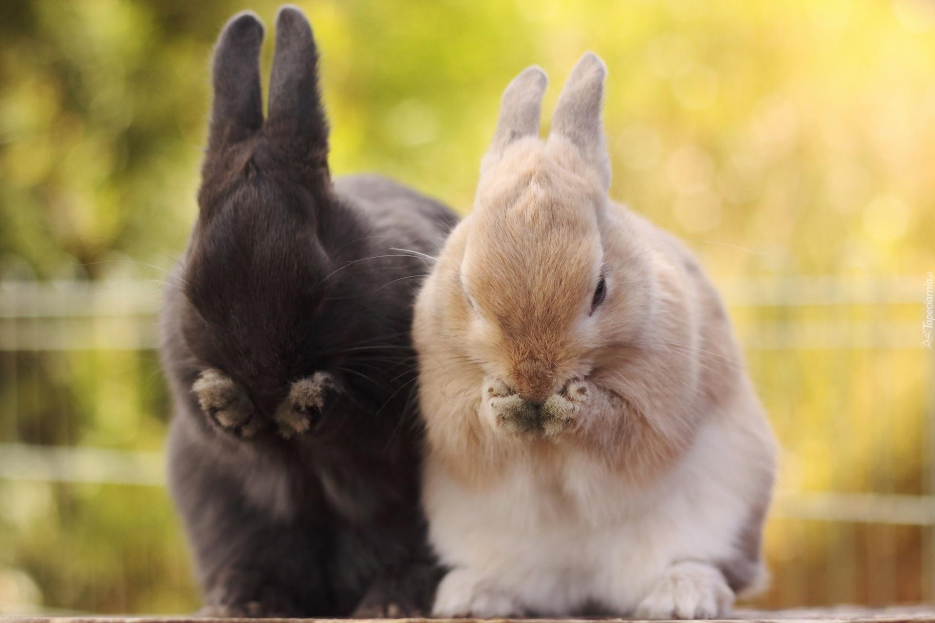 Cute White Rabbit Wallpapers For Desktop: Dwa, Króliczki