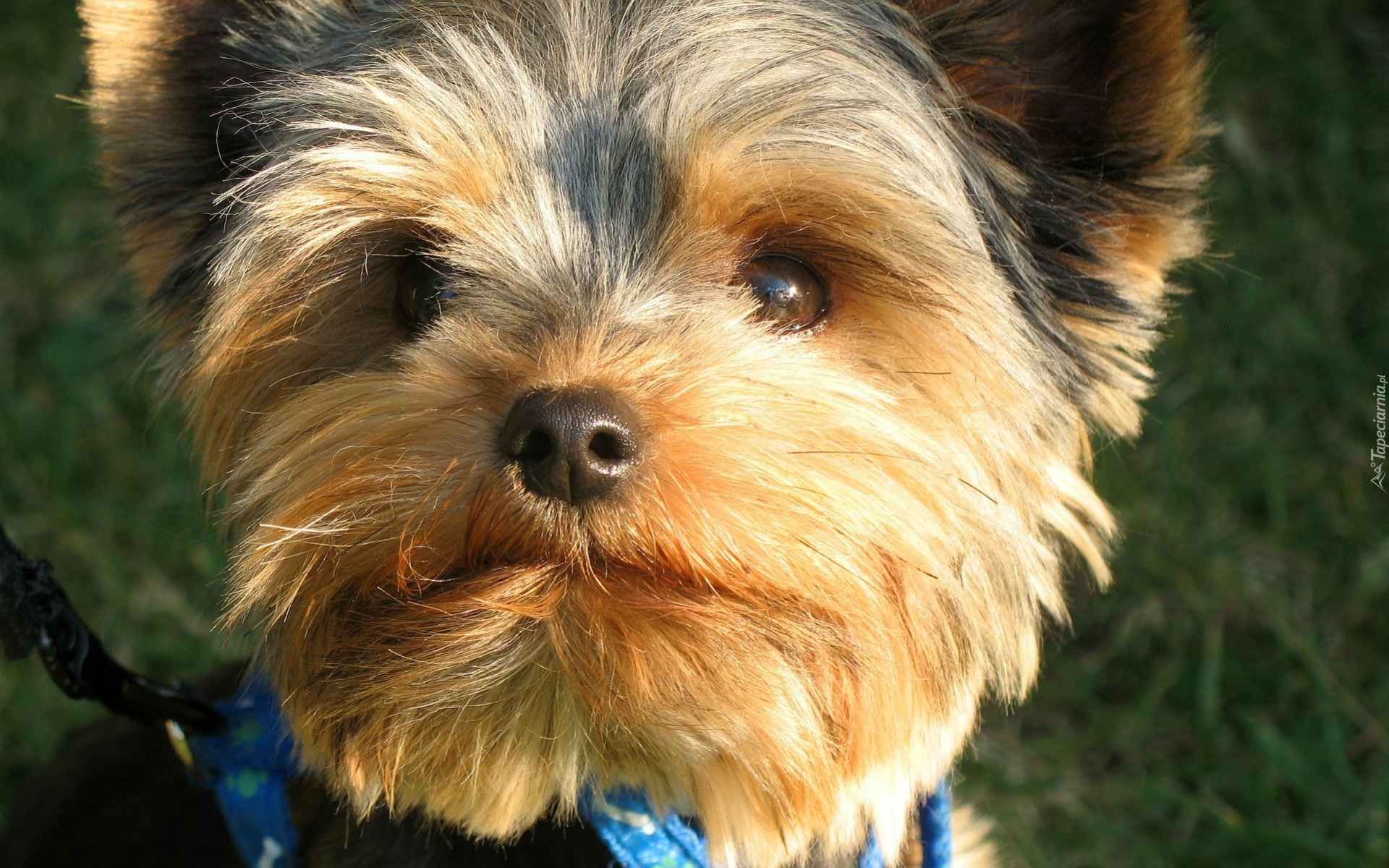 A Basenji Dog Pies, York, Apaszka