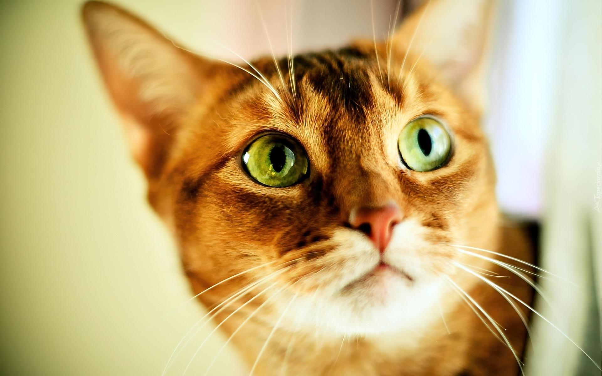 Rudy Kot Zielone Oczy