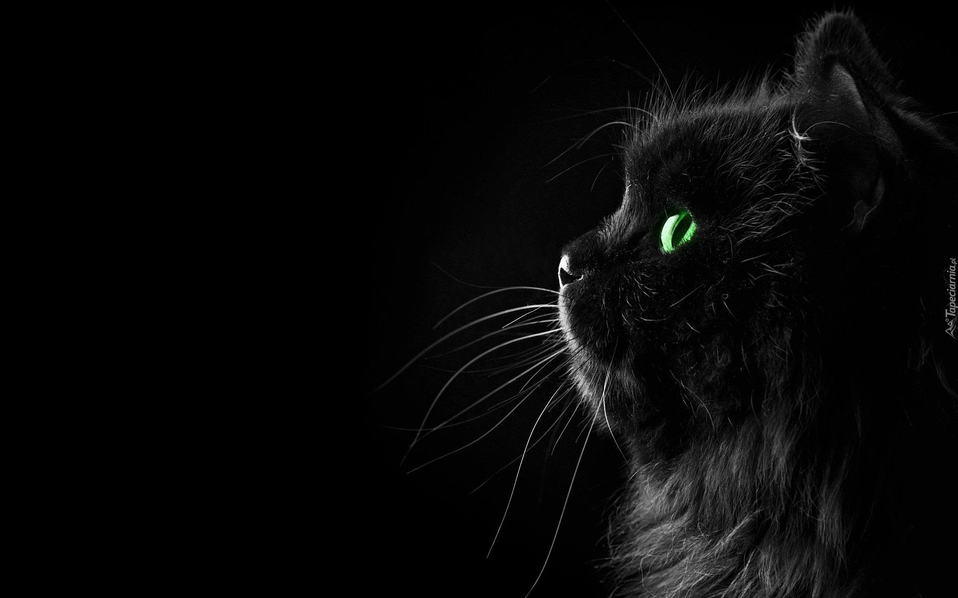 Czarny Kot Perski
