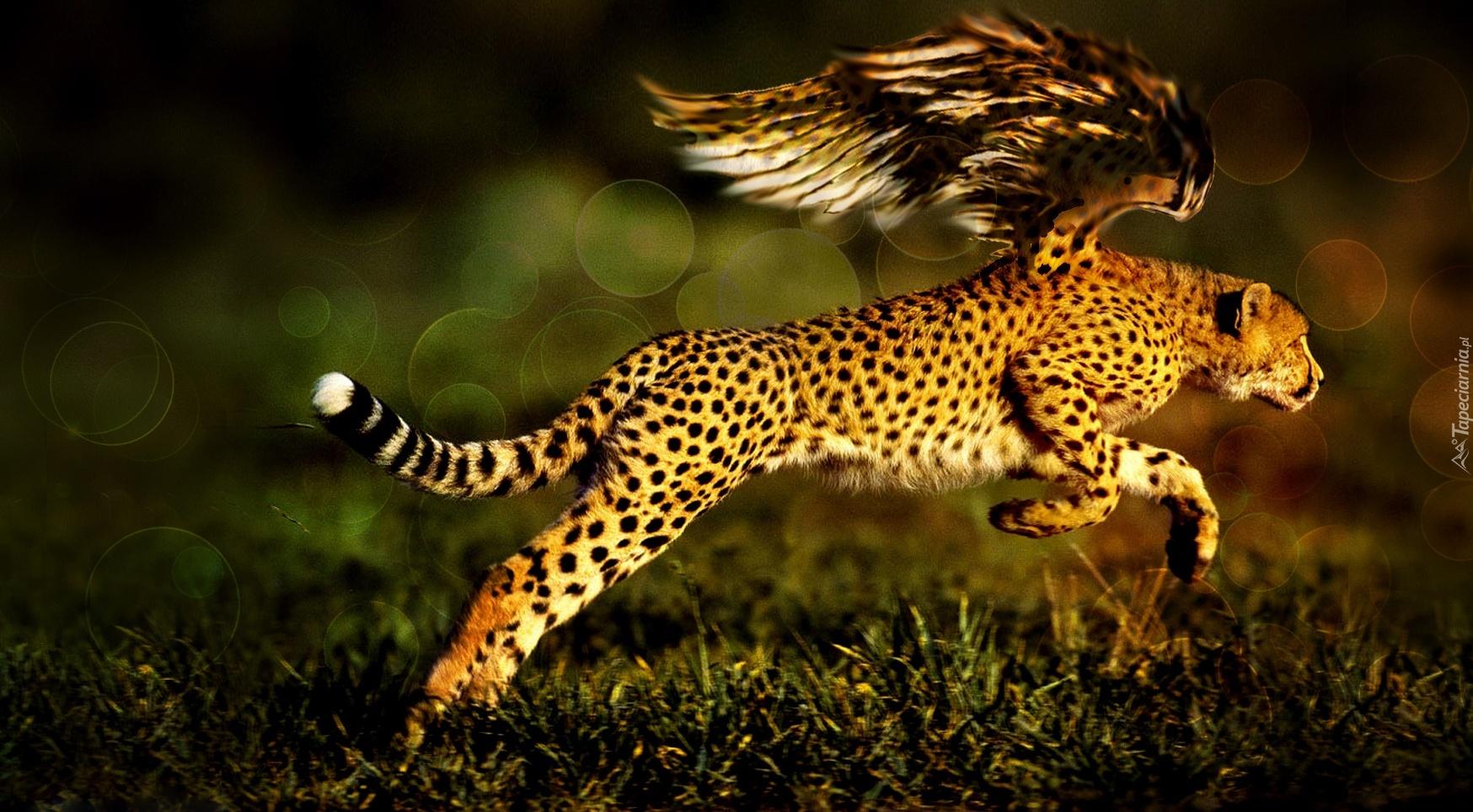 Leopard 4k Black Background Hd Animals 4k Wallpapers: Gepard, Ptak, Bieg