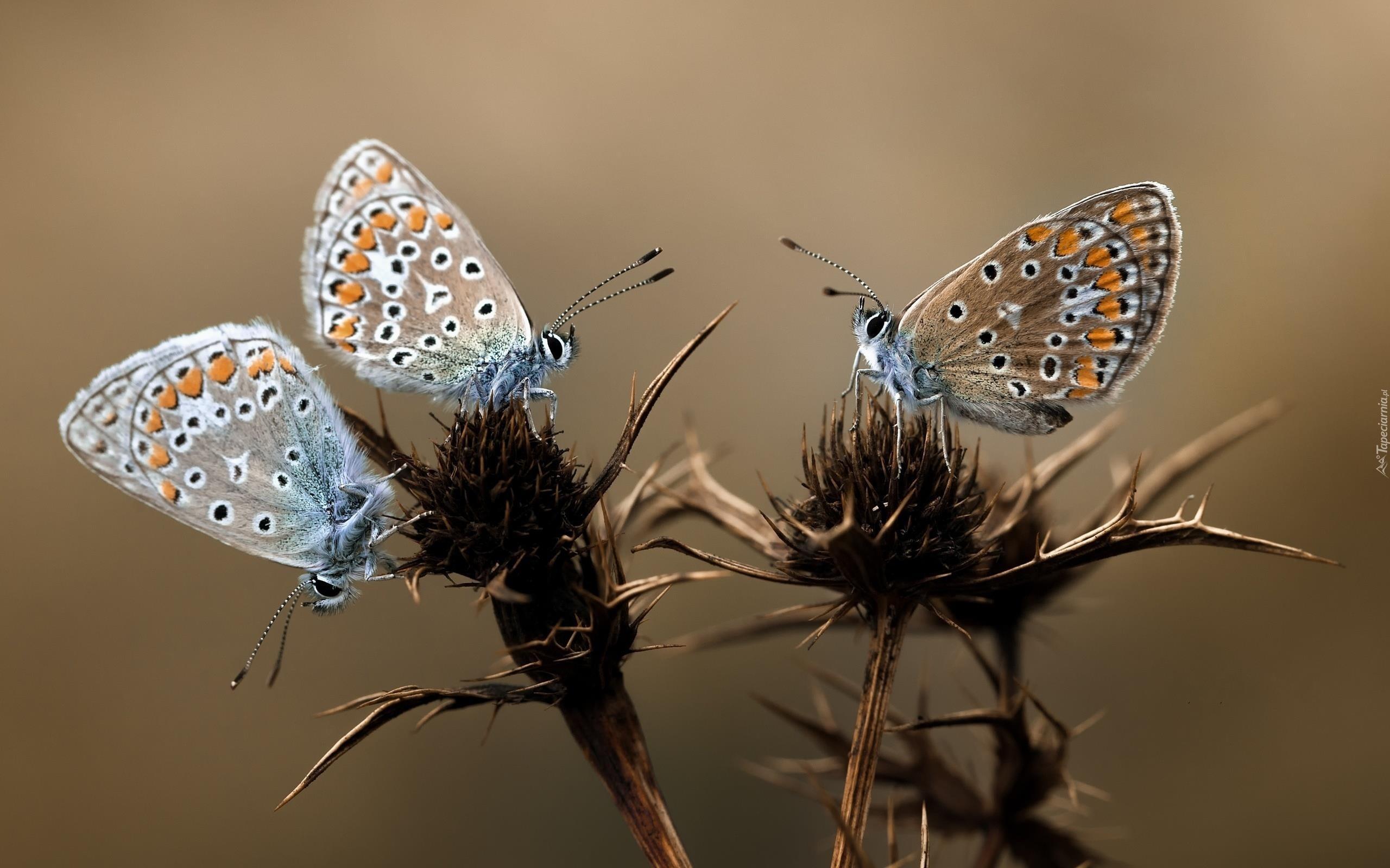 osty kolorowe motyle modraszki