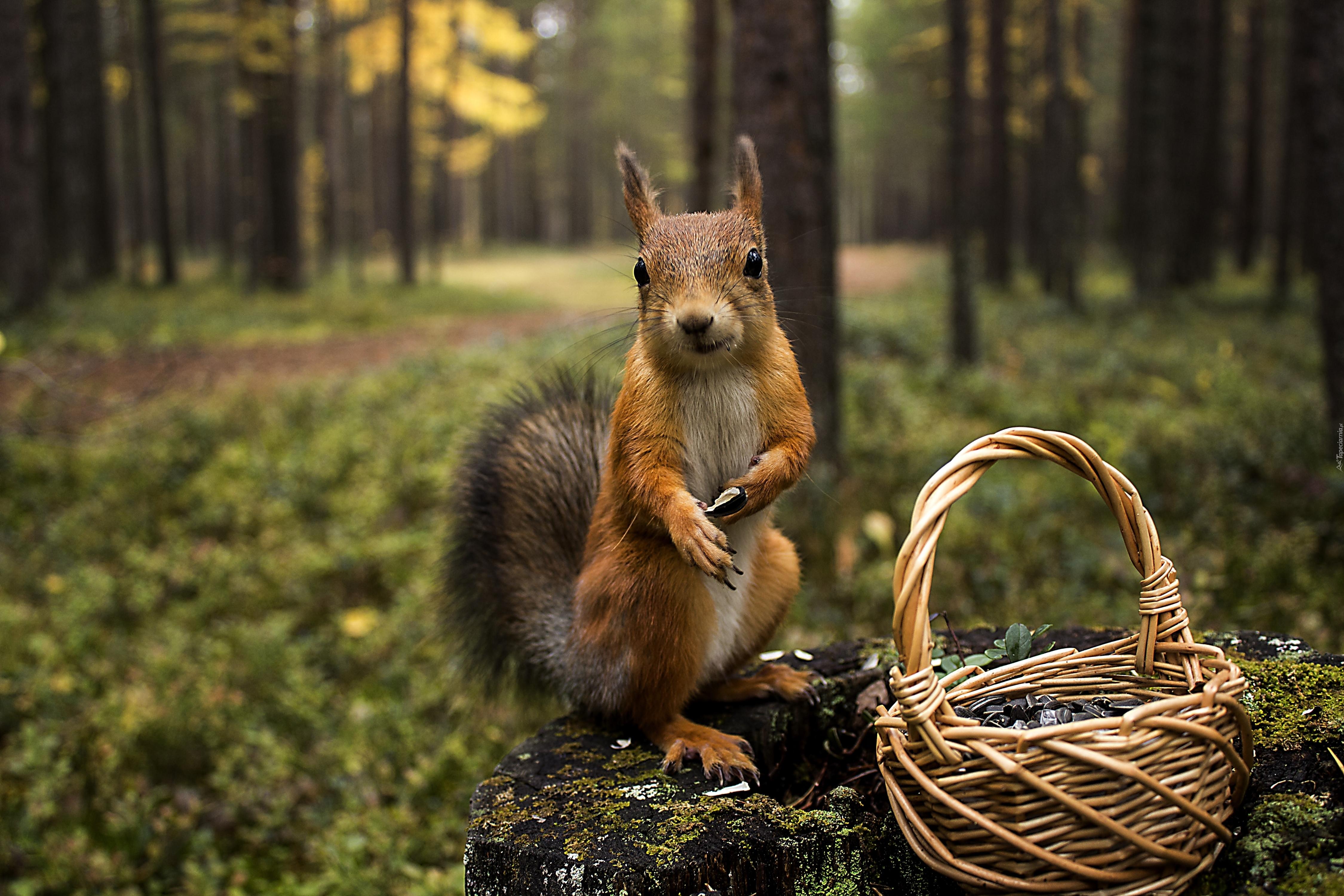Белка в осеннем лесу  Осень GIF картинки