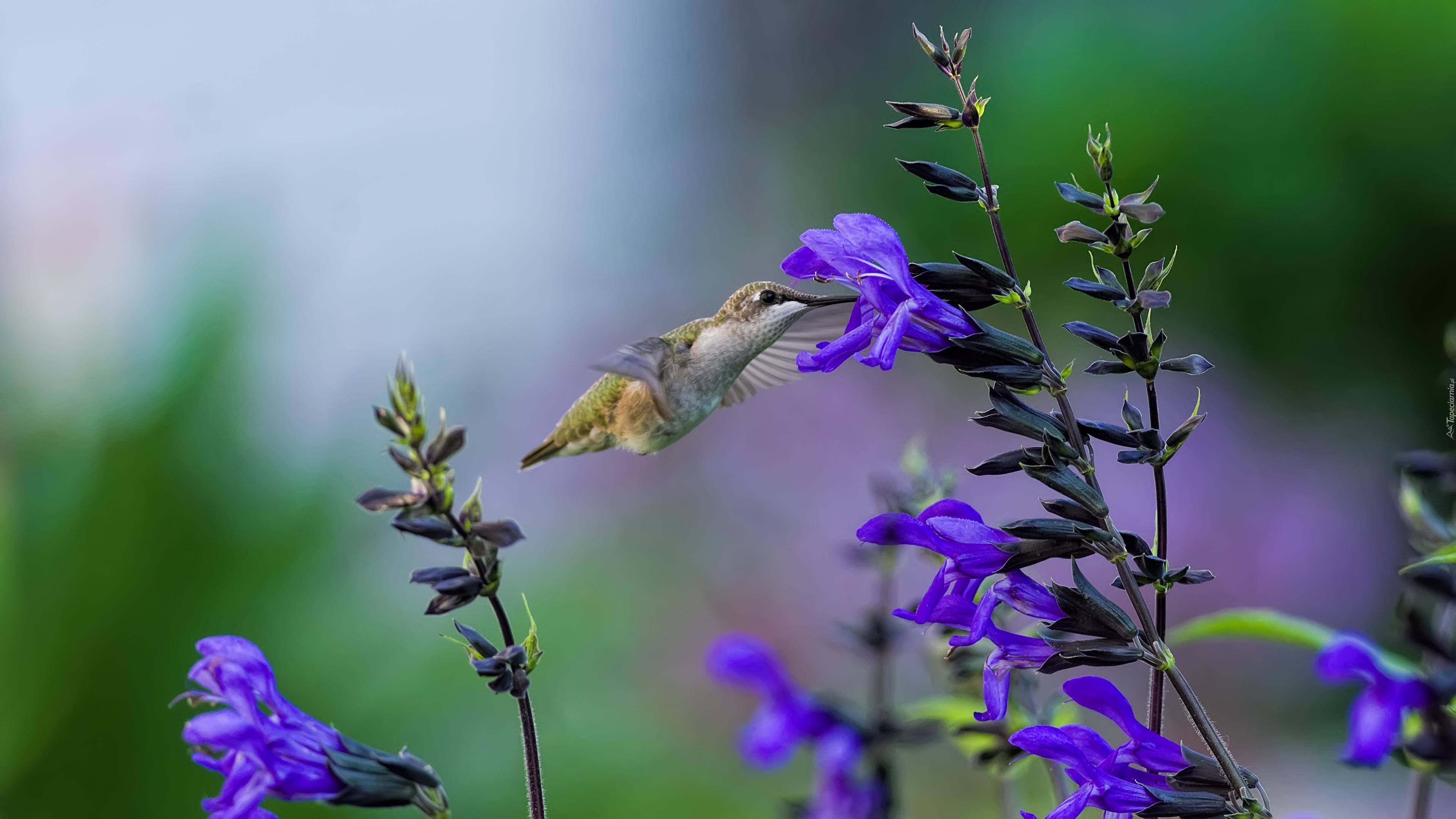колибри цветок загрузить