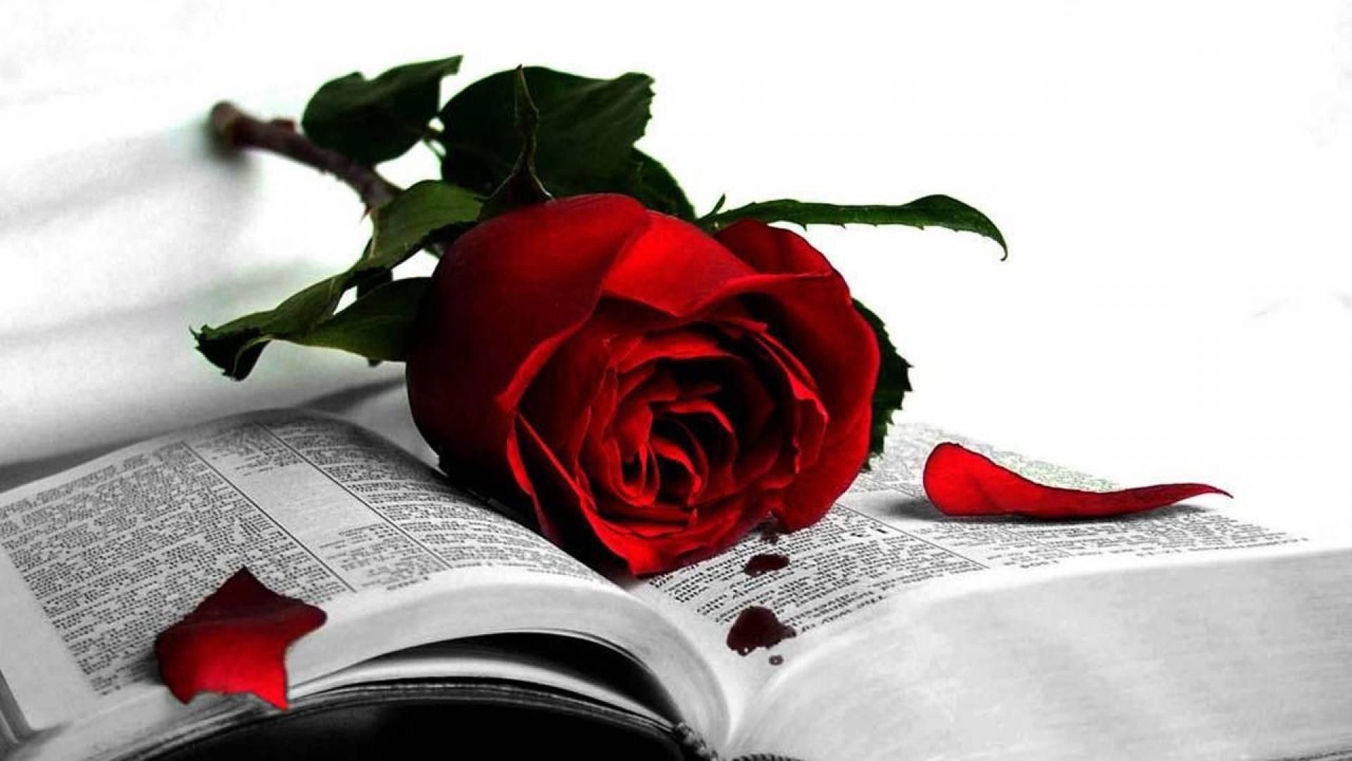 Czerwona, Róża, Książka