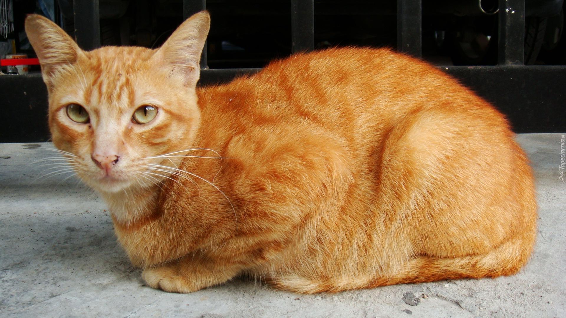 Cheese Humane Society Cat