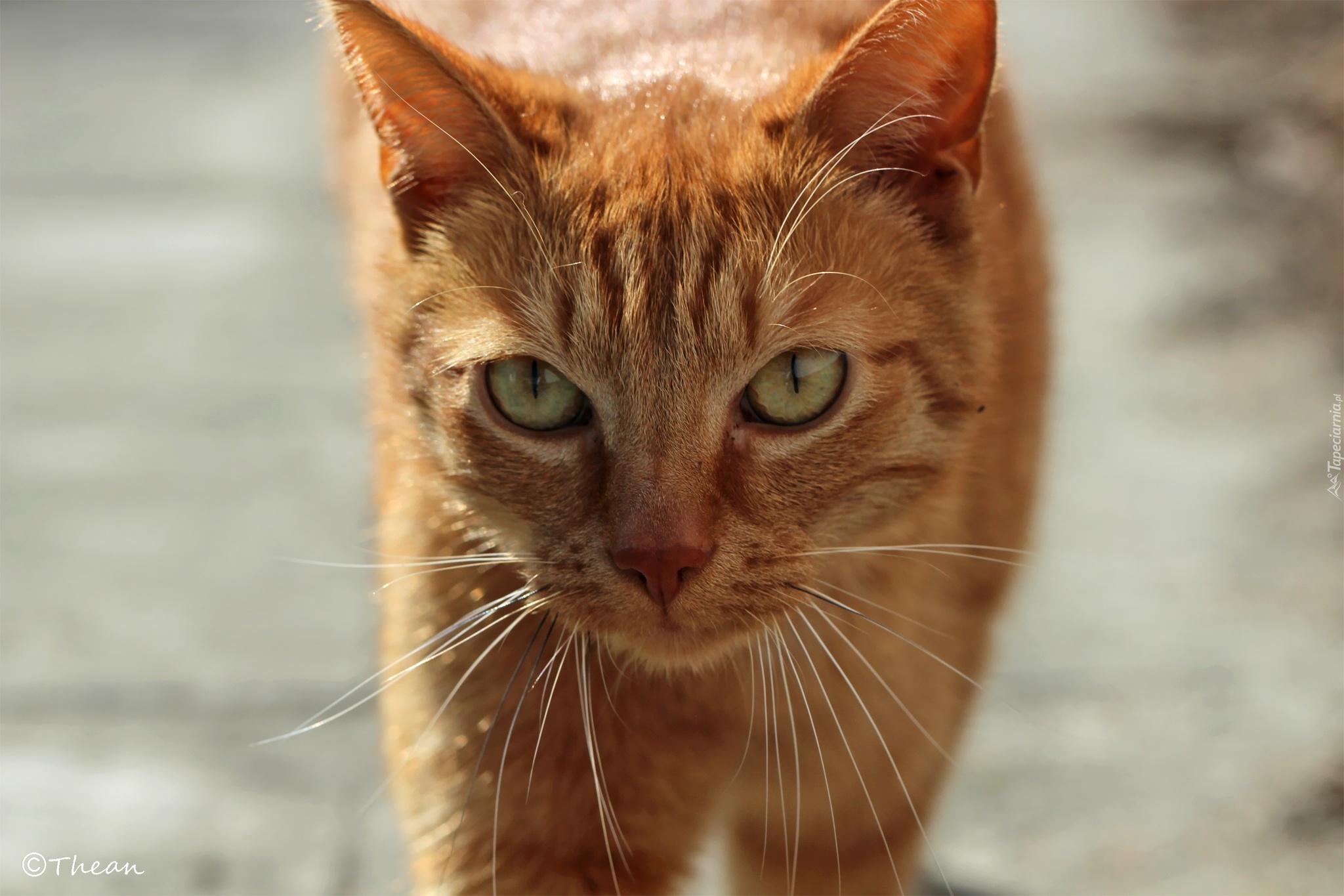 Rudy Kot Dachowiec