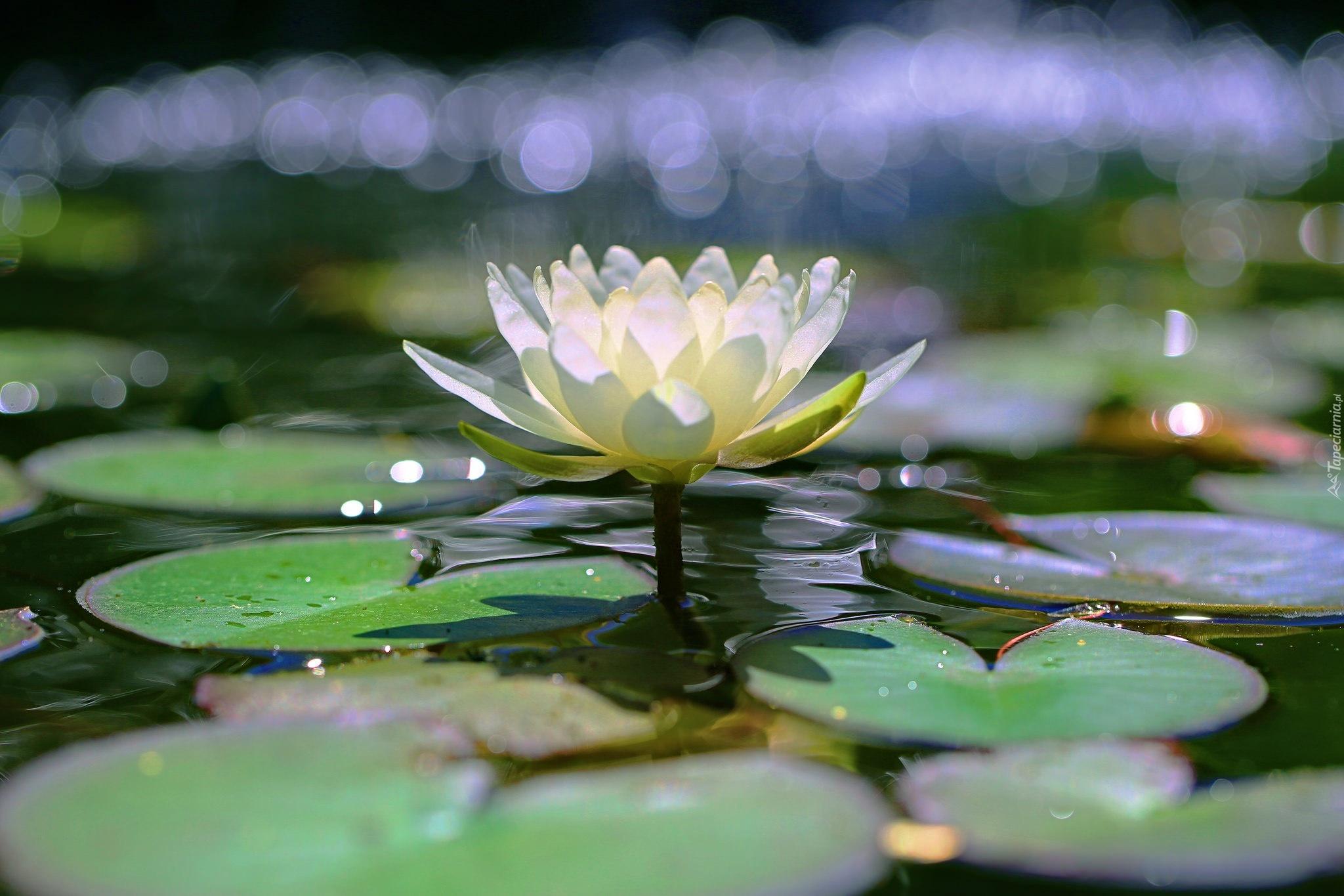 лилия, озеро, листья загрузить