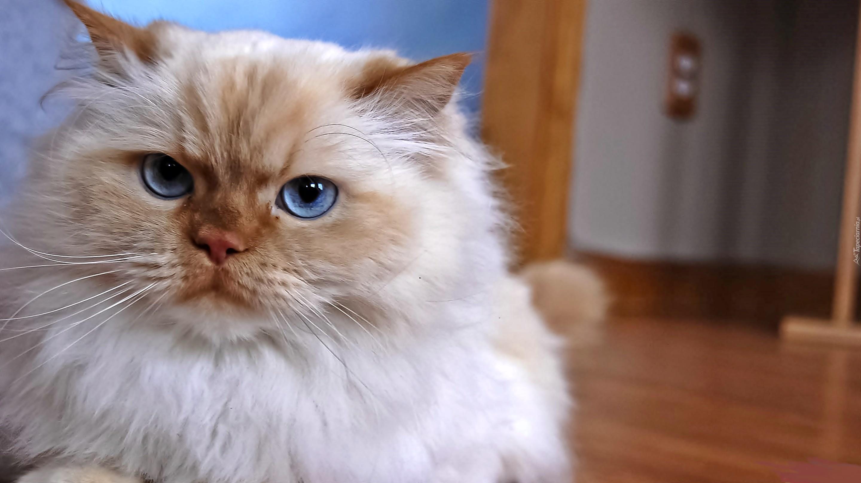 Kot Perski Niebieskie Oczy