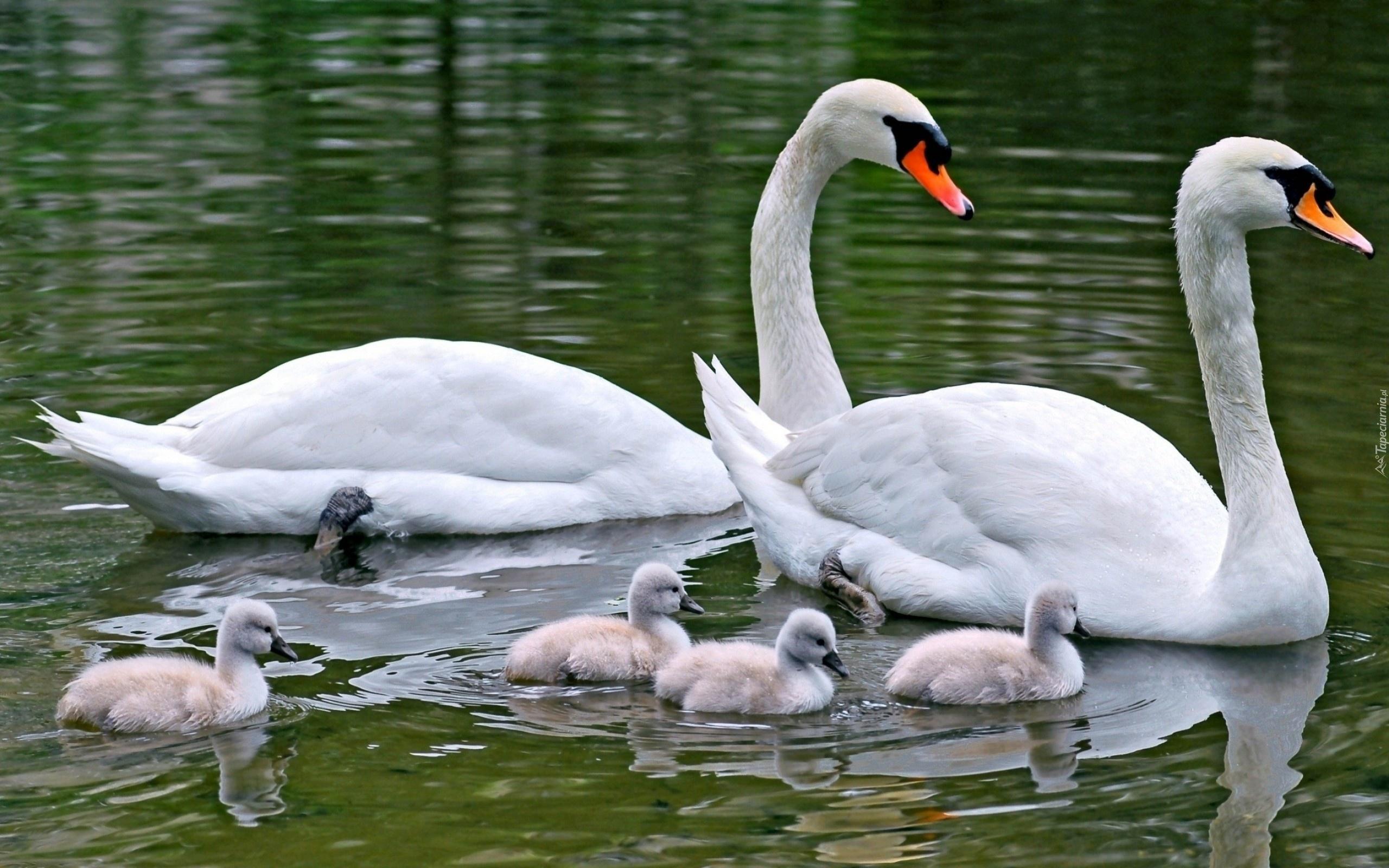 природа животные лебеди любовь скачать