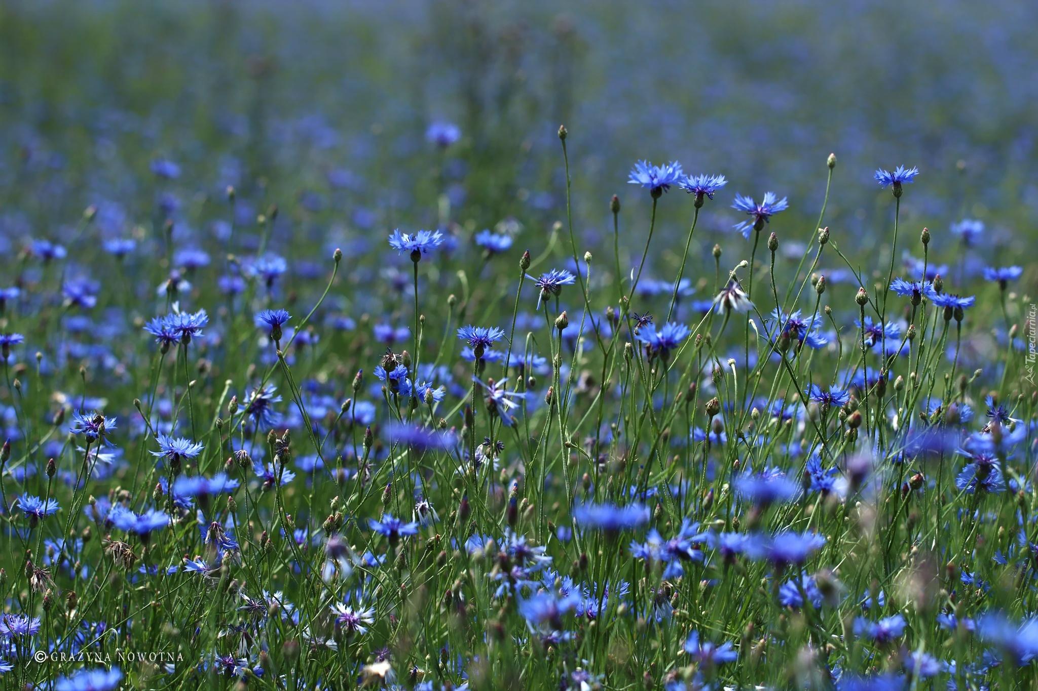 Chabry Niebieskie Kwiaty Laka