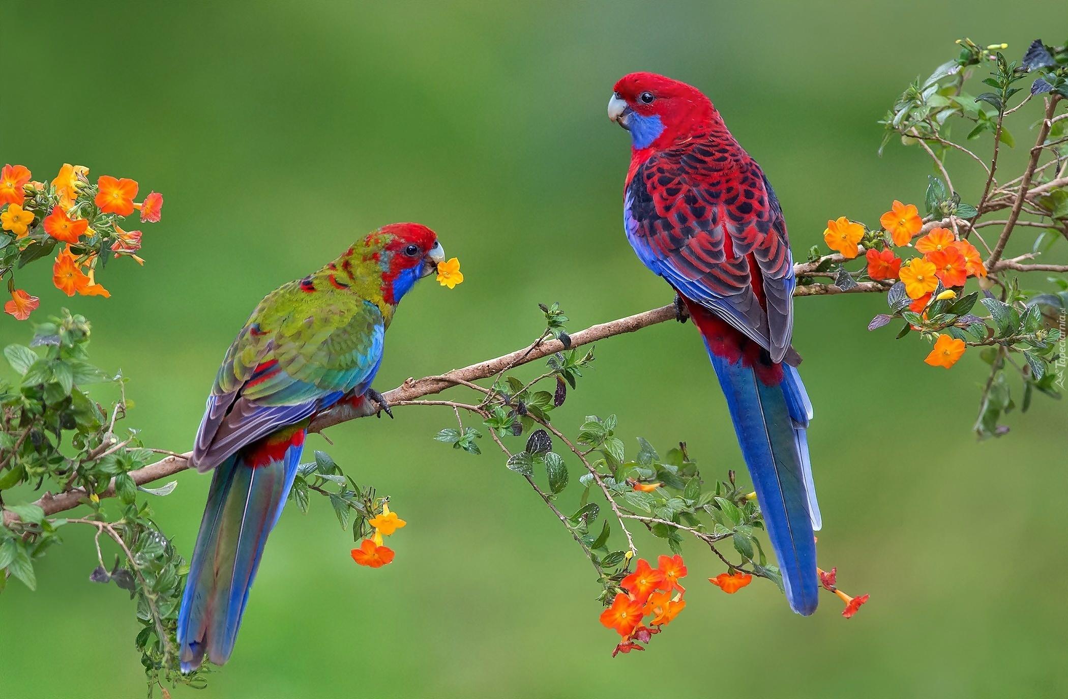 попугай на ветке без смс