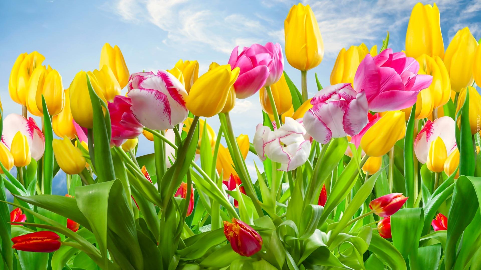 поляна из желтых тюльпанов скачать
