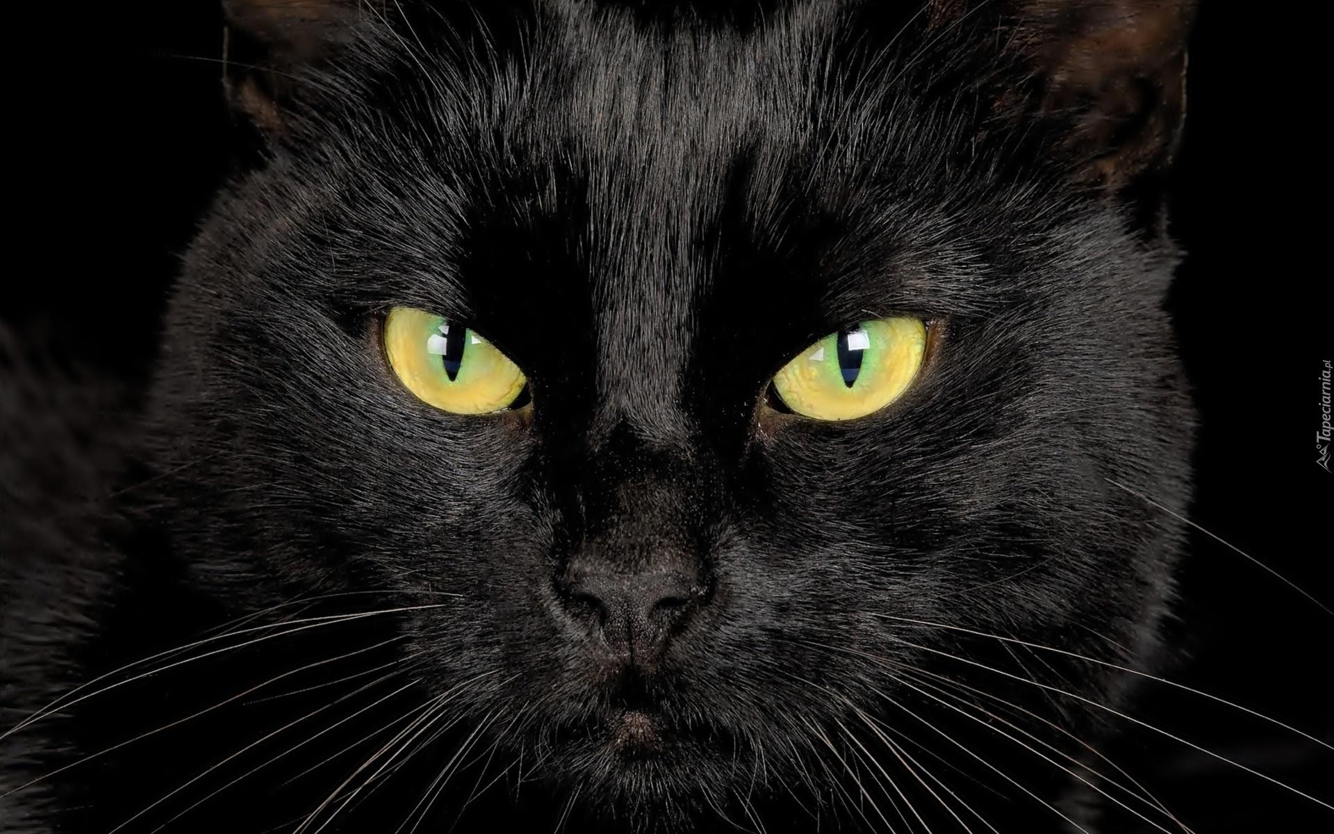 Czarny Kot Głowa Oczy