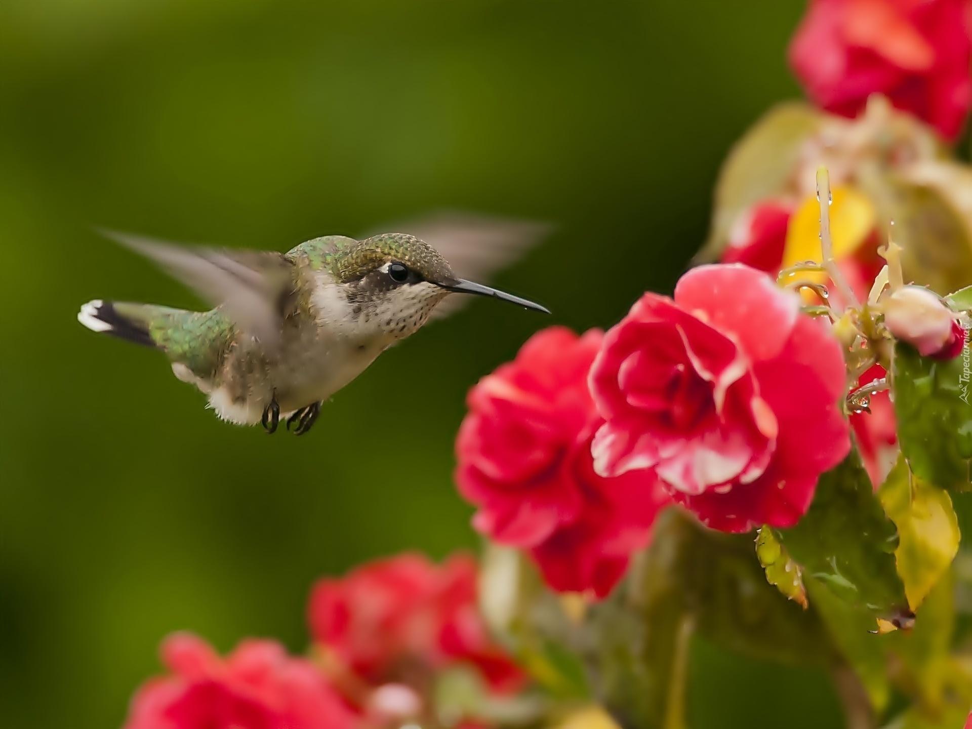 природа колибри цветы птицы без смс