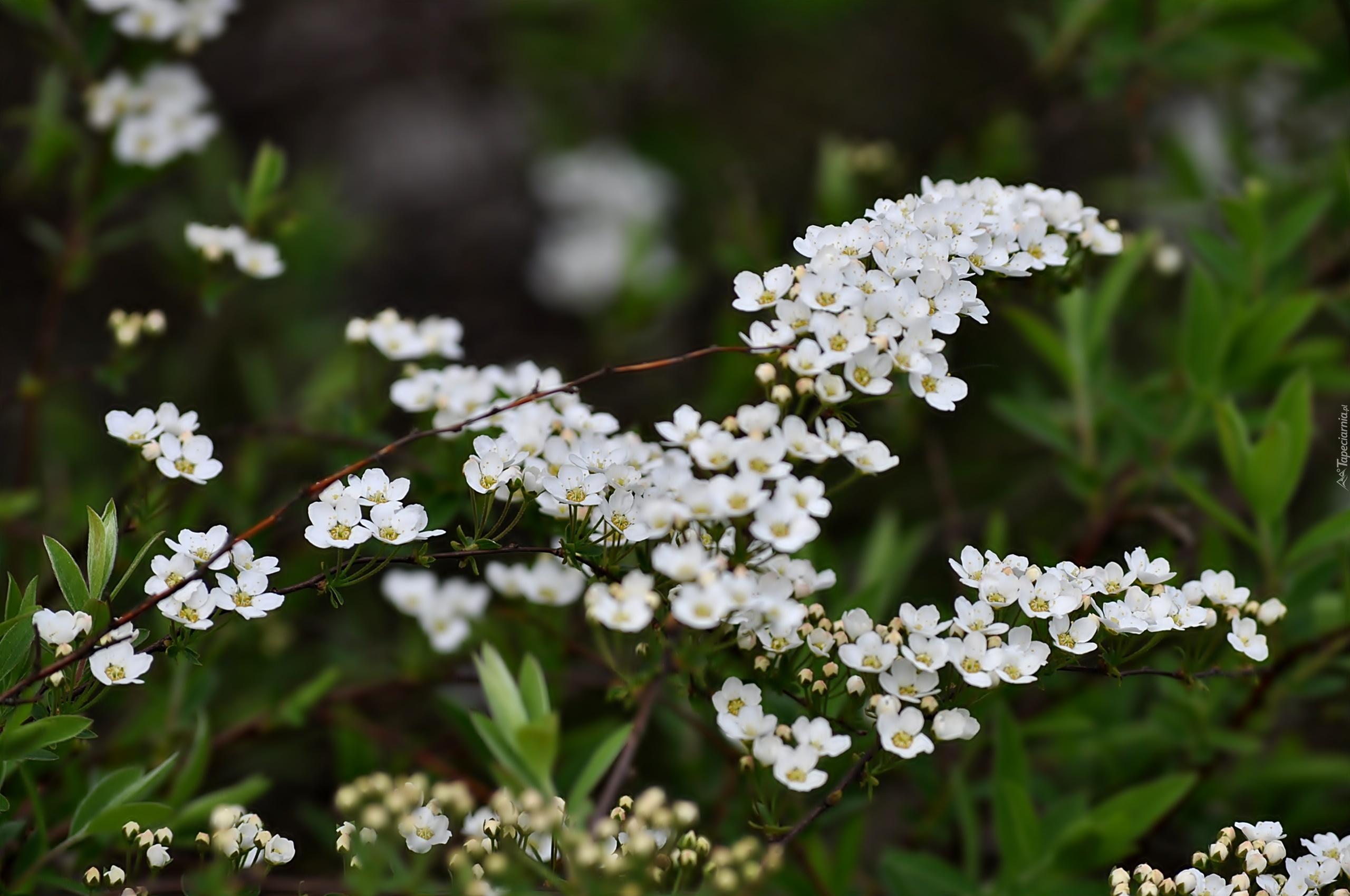 Biale Kwiaty Tawula Japonska