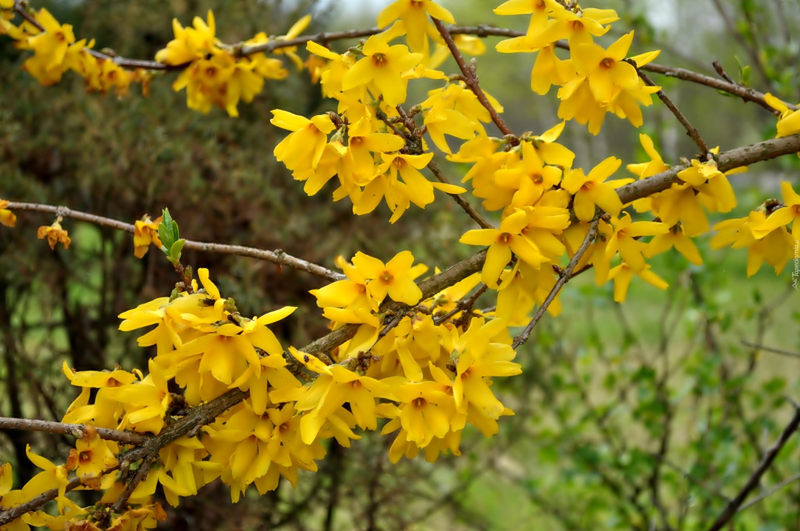 Zolte Kwiaty Kwitnacy Krzew Forsycja
