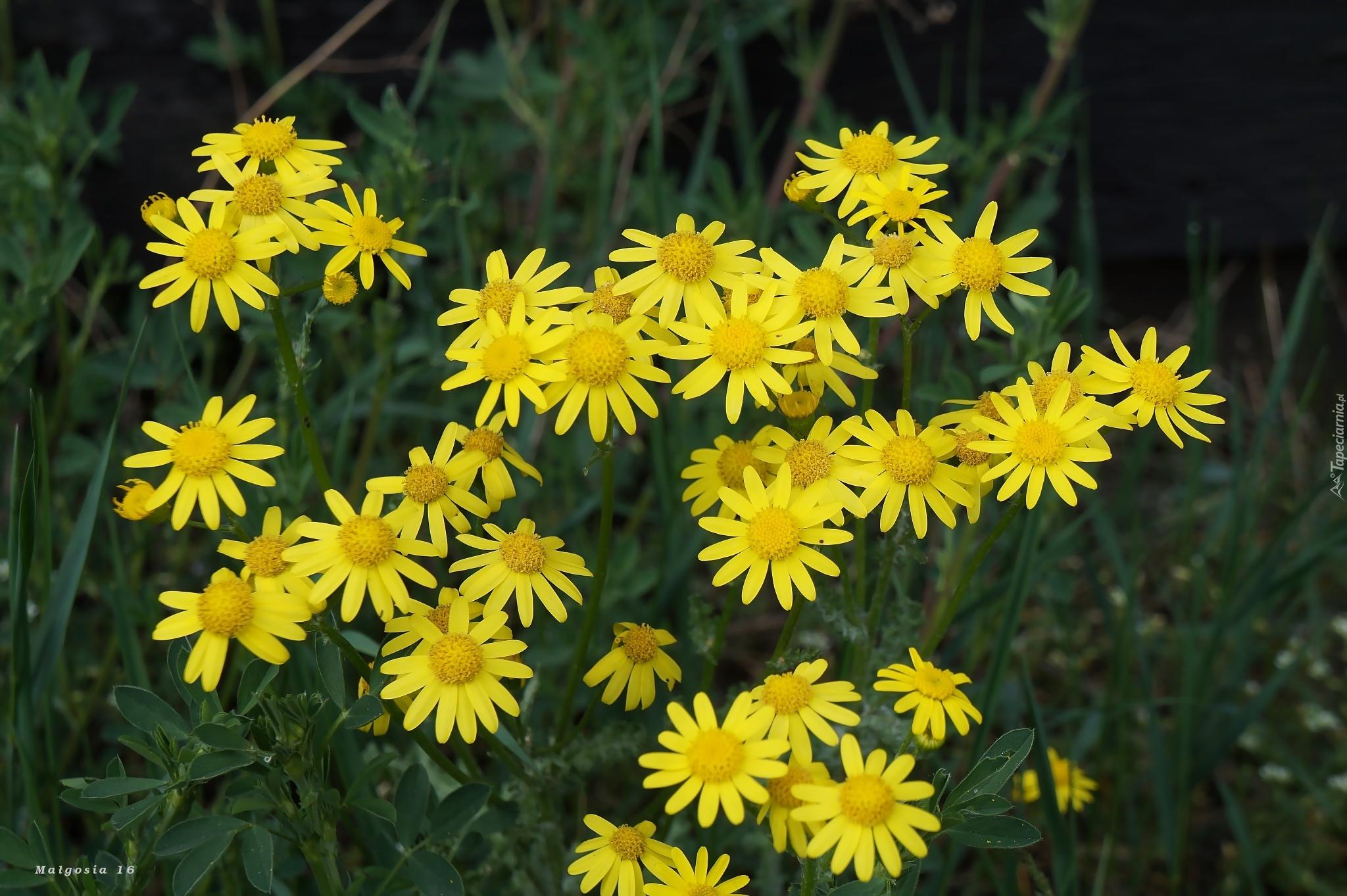 Kwiaty Zolte Kwitnace Wiosenne