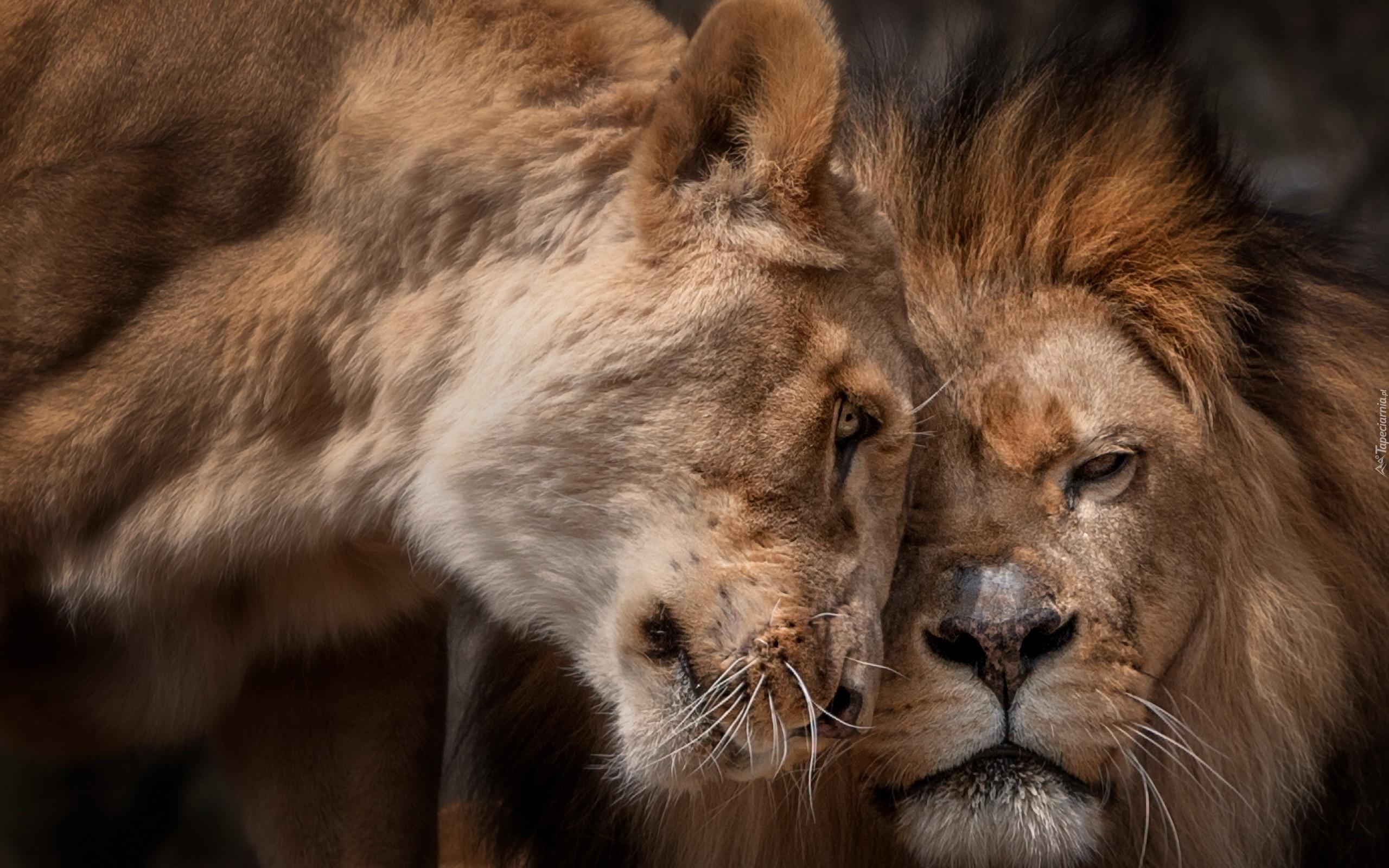 красивая пара львов картинки в хорошем качестве поддержку знаменитой матери