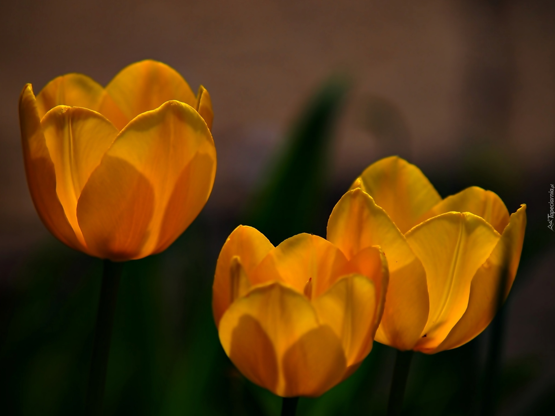картинка из трех тюльпанов куршевель