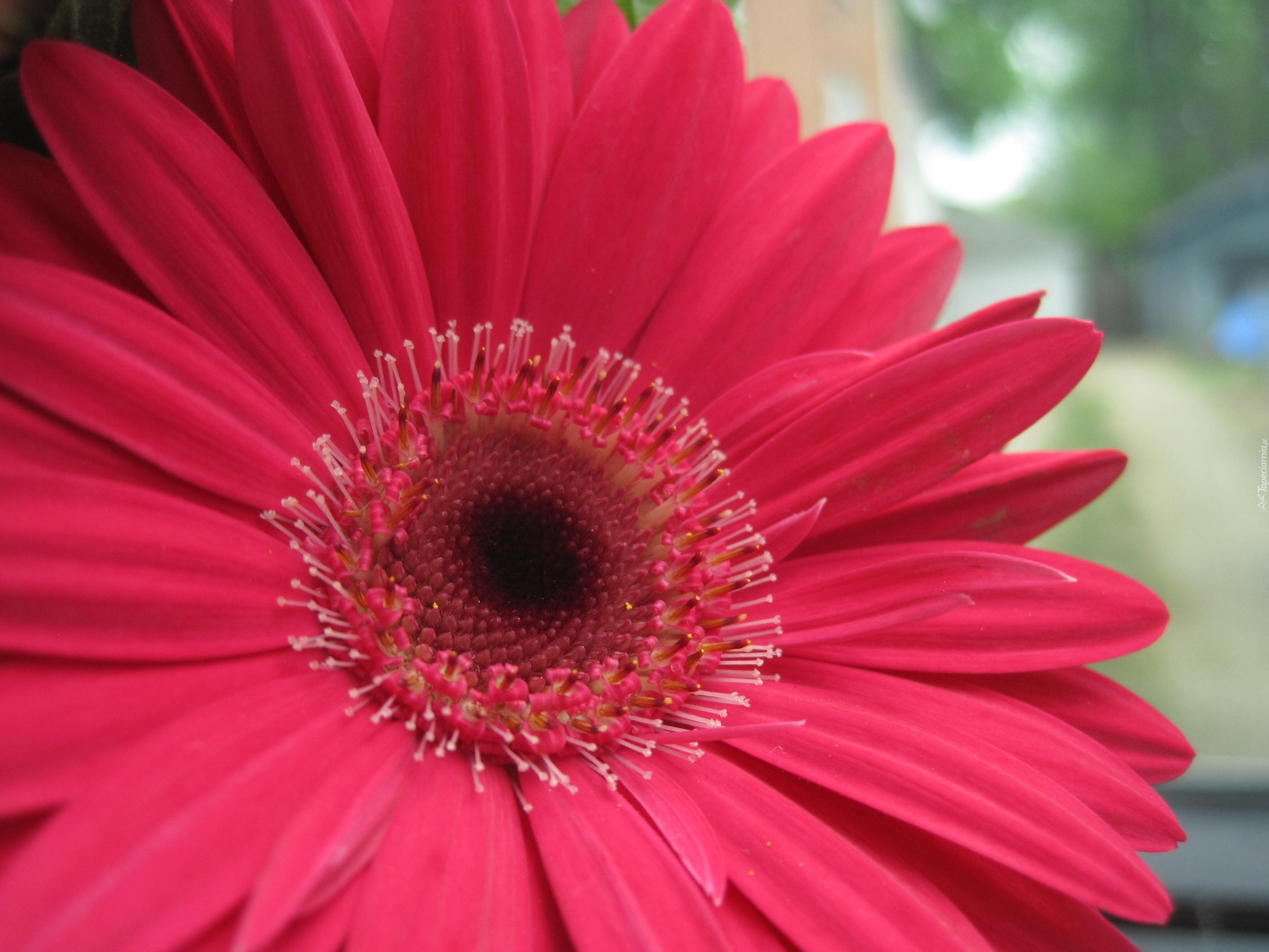 how to look after a gerbera plant