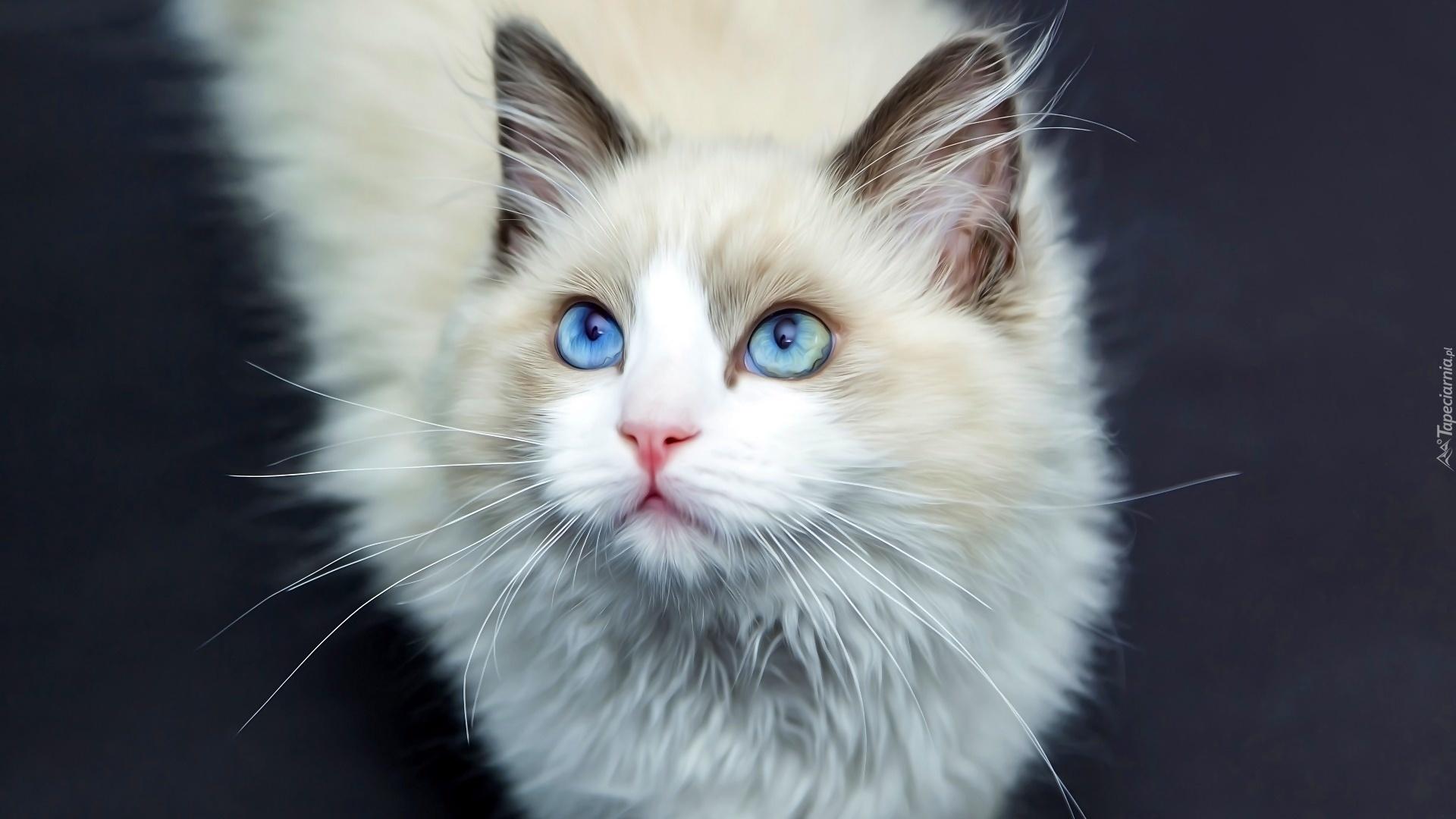 Biały Kot Niebieskie Oczy