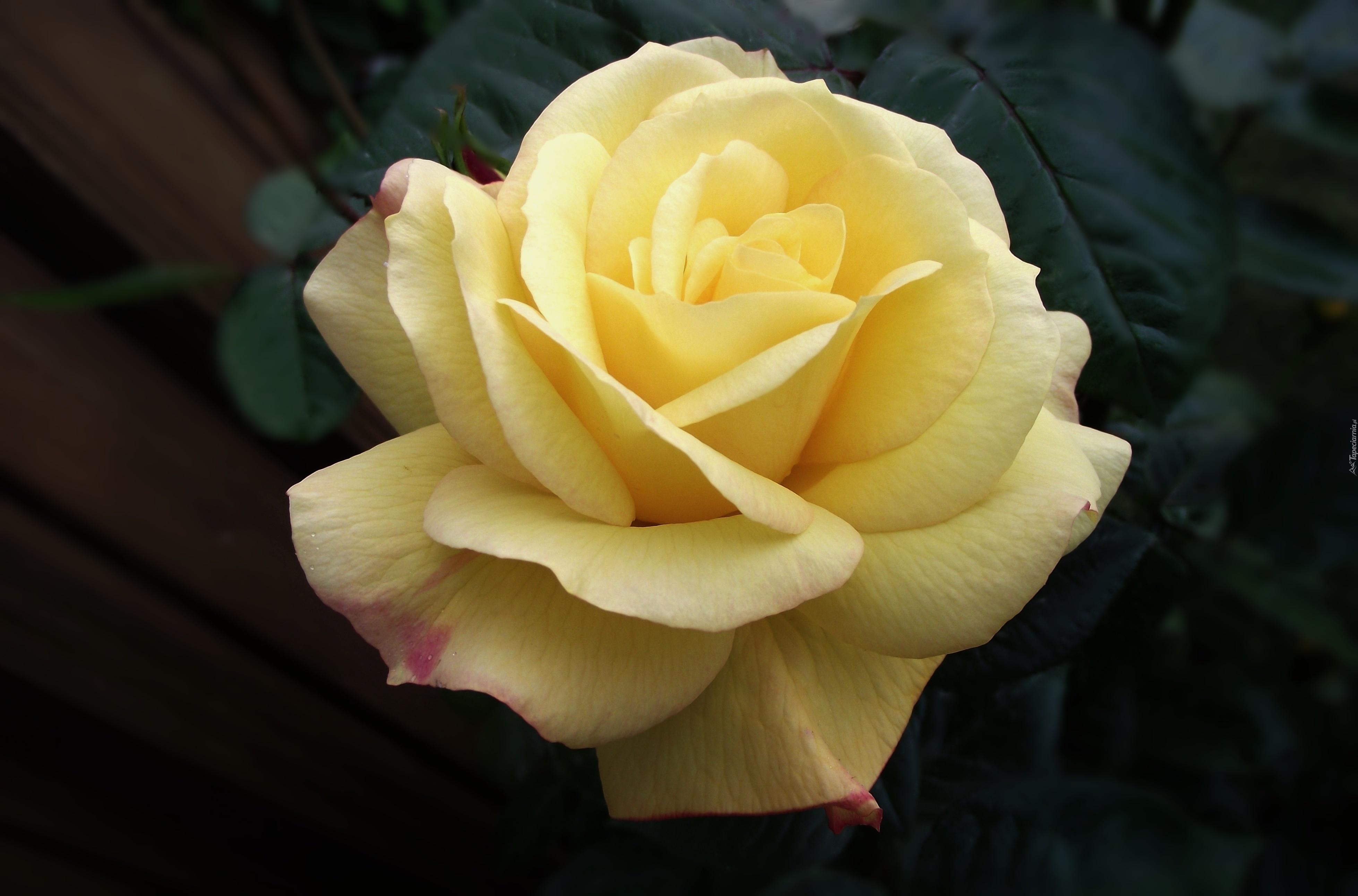 yellow love rose - HD1280×807